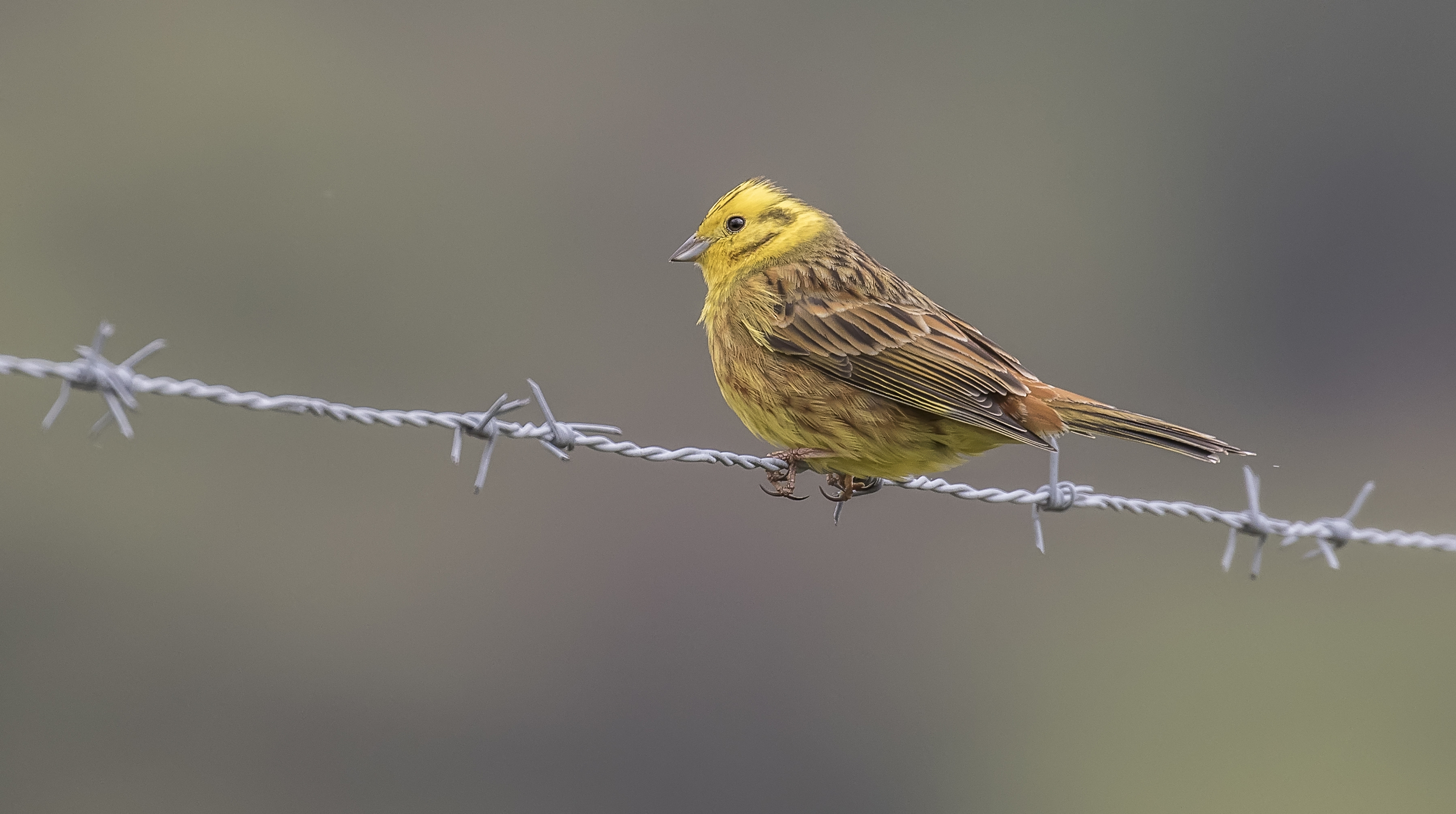 Yellowhammer B Wire 10th May.jpg