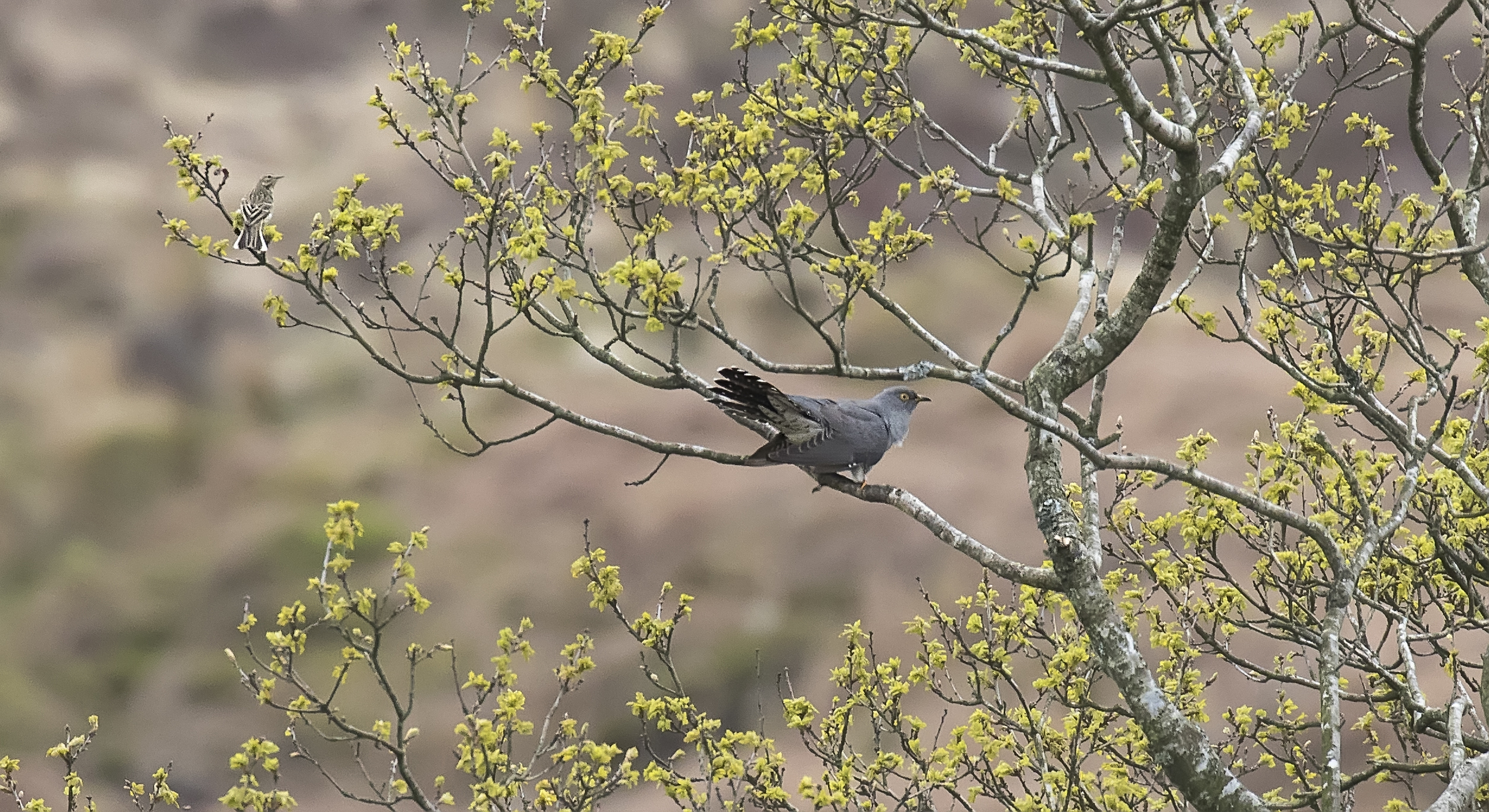 Cuckoo Perched with Meadow Pipit 10th May.jpg