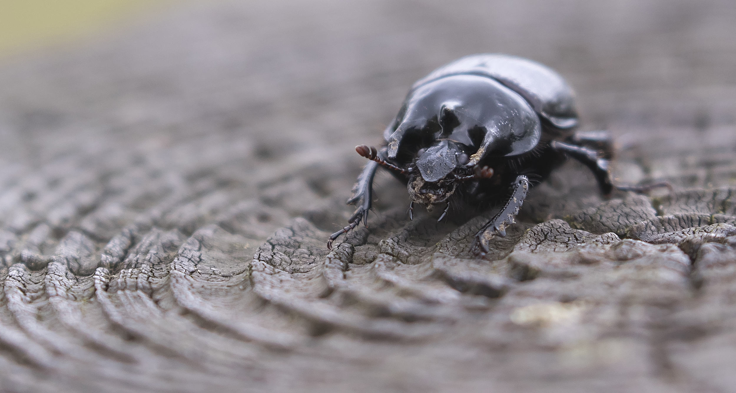 The Minotaur Beetle 10th May.jpg