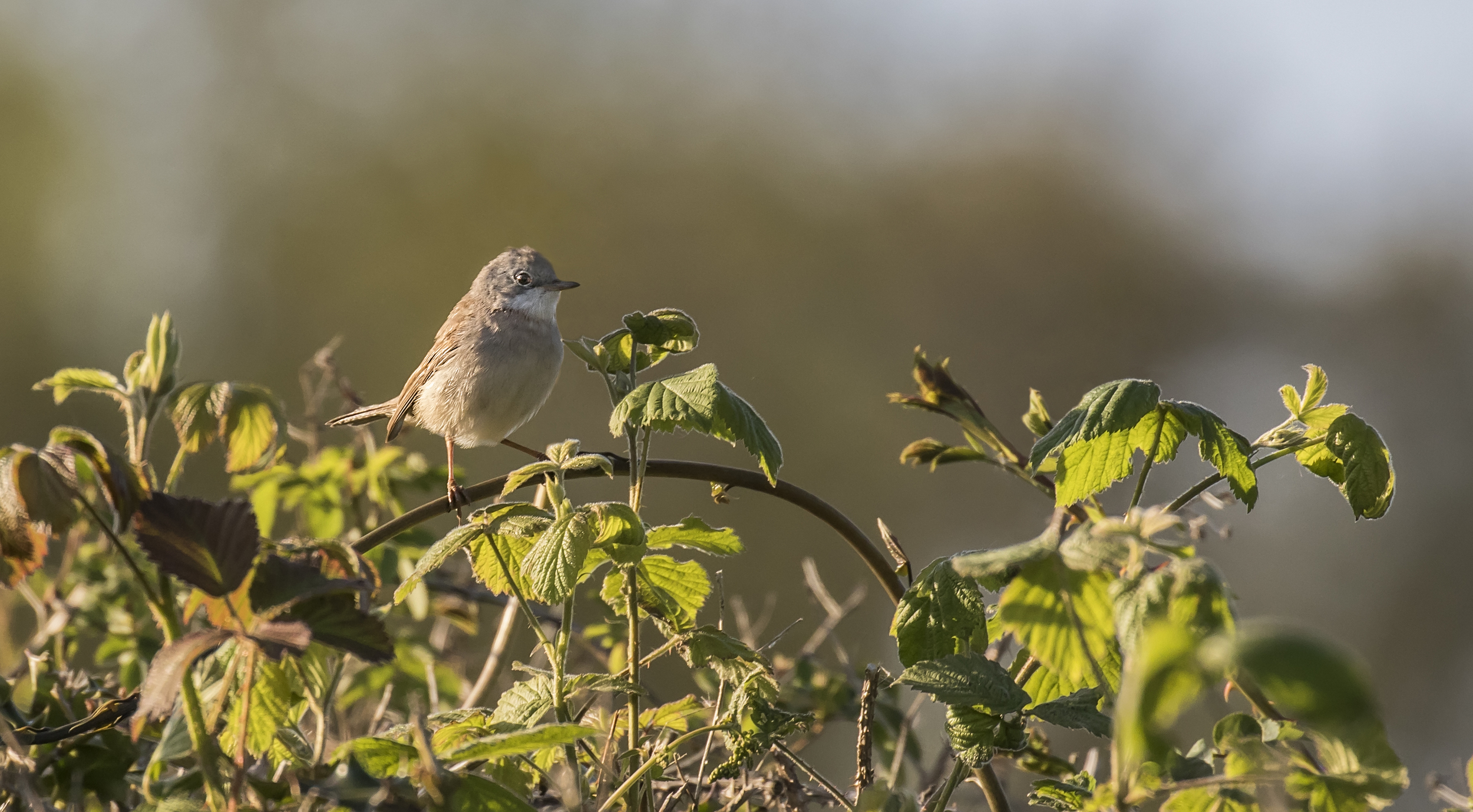 Whitethroat 13th May.jpg