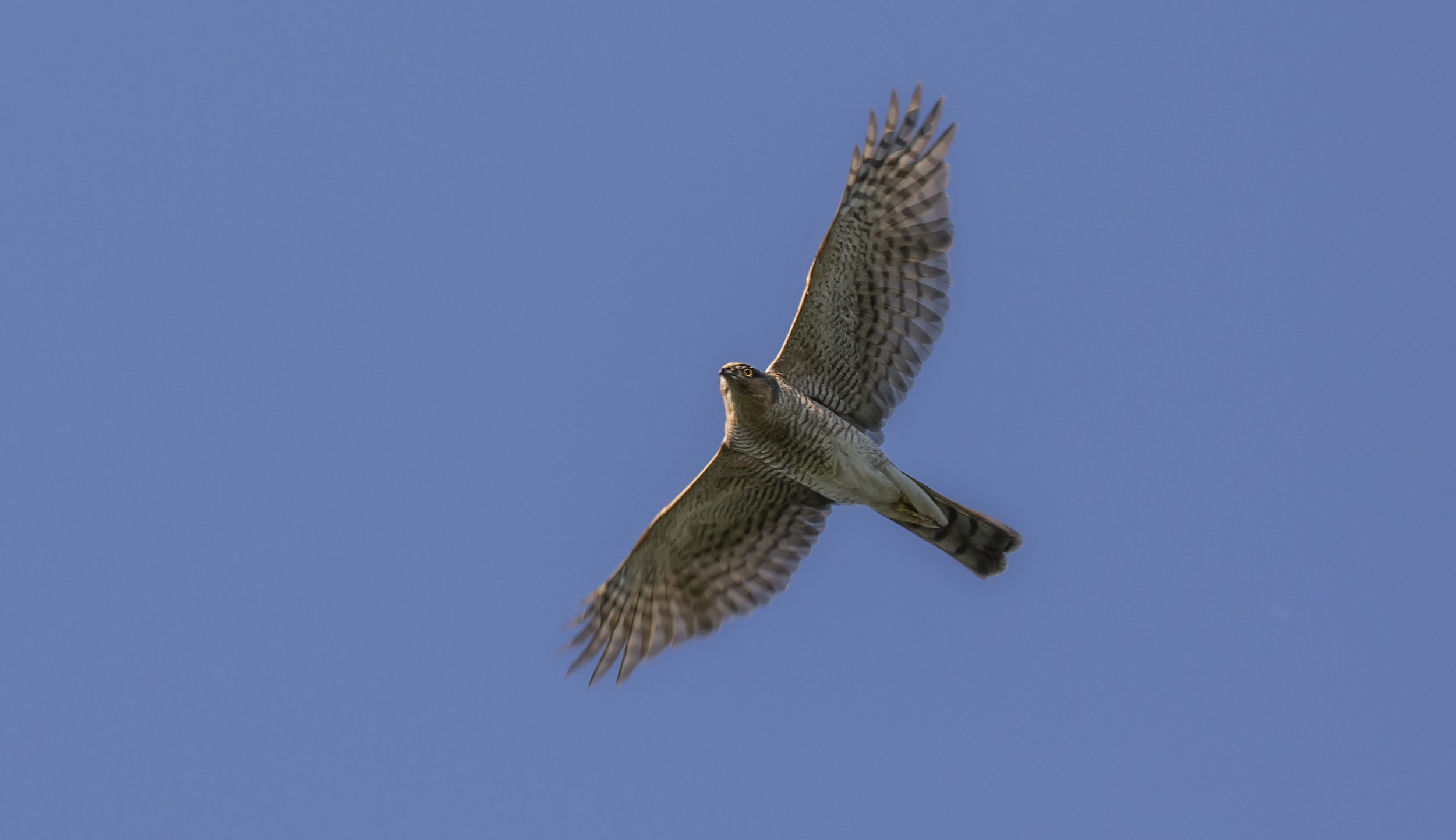 Sparrowhawk 13th May.jpg