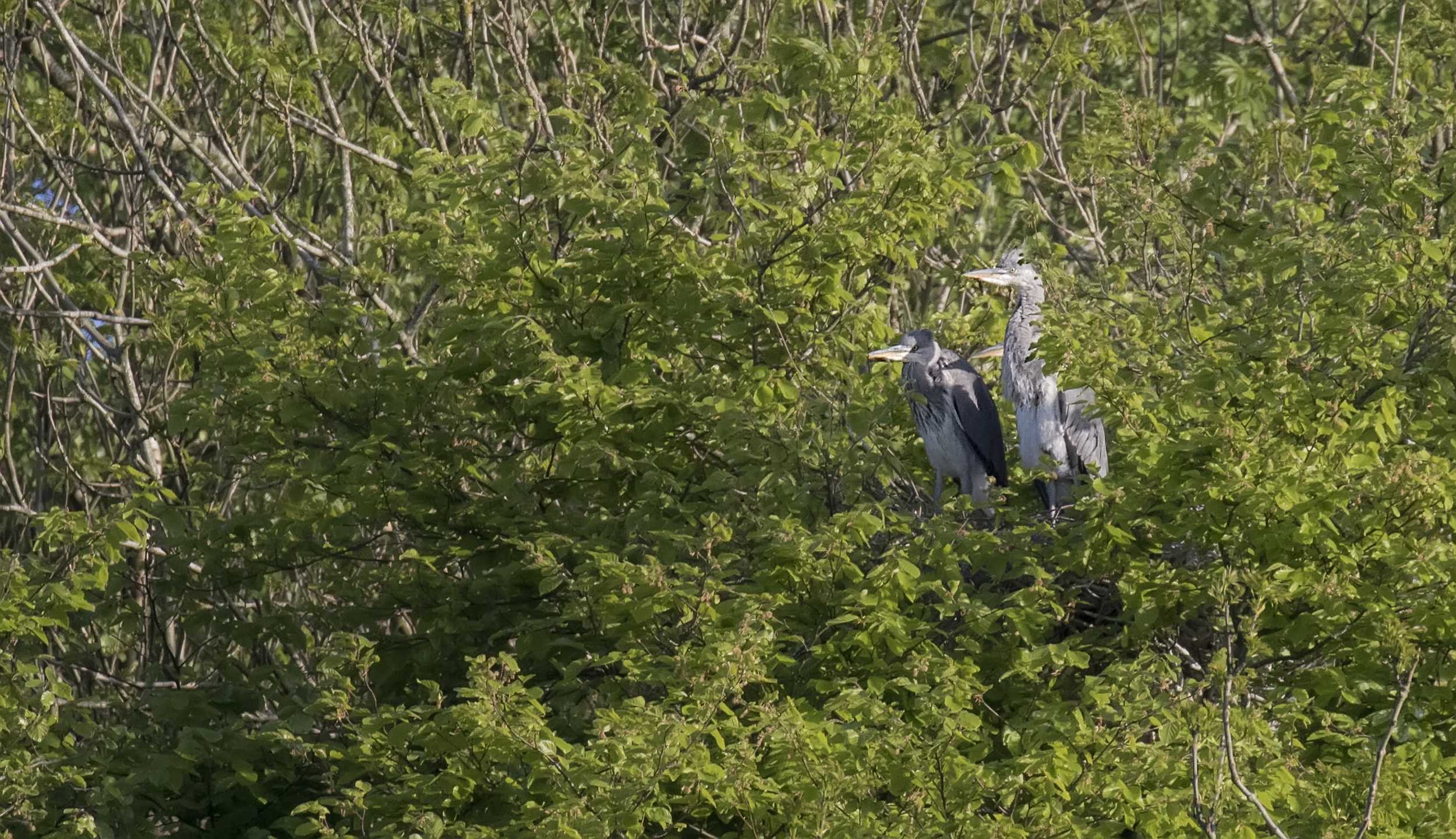 Heron Chicks 13th May.jpg