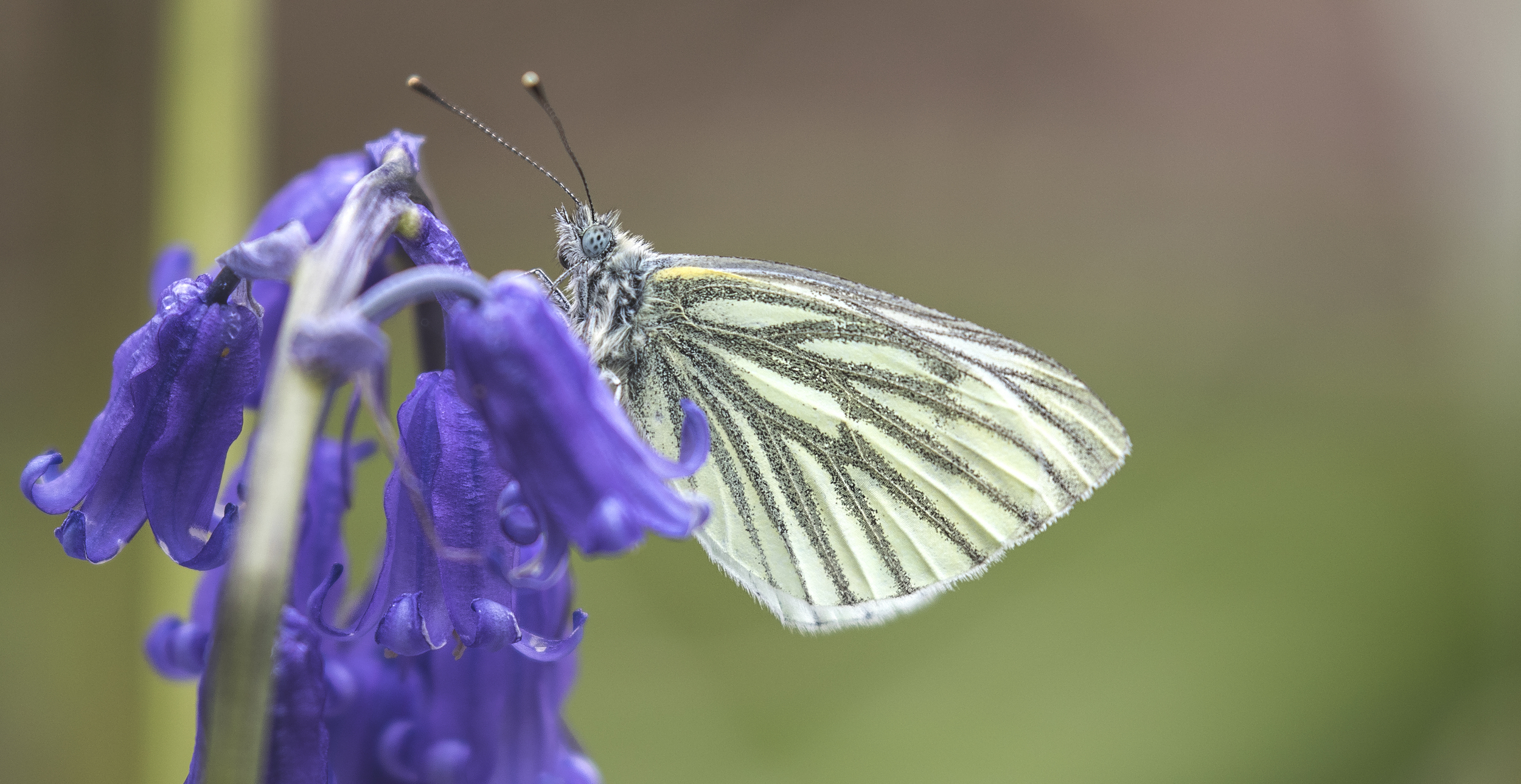 Green-veined Butterfly 15th May.jpg