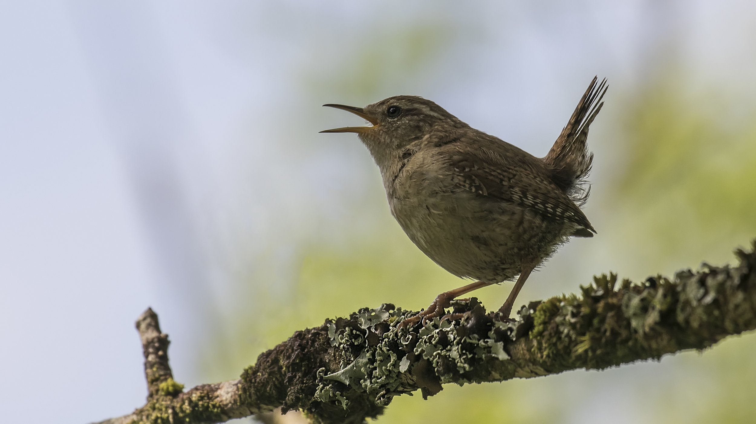 Wren Singing 2 16th May.jpg