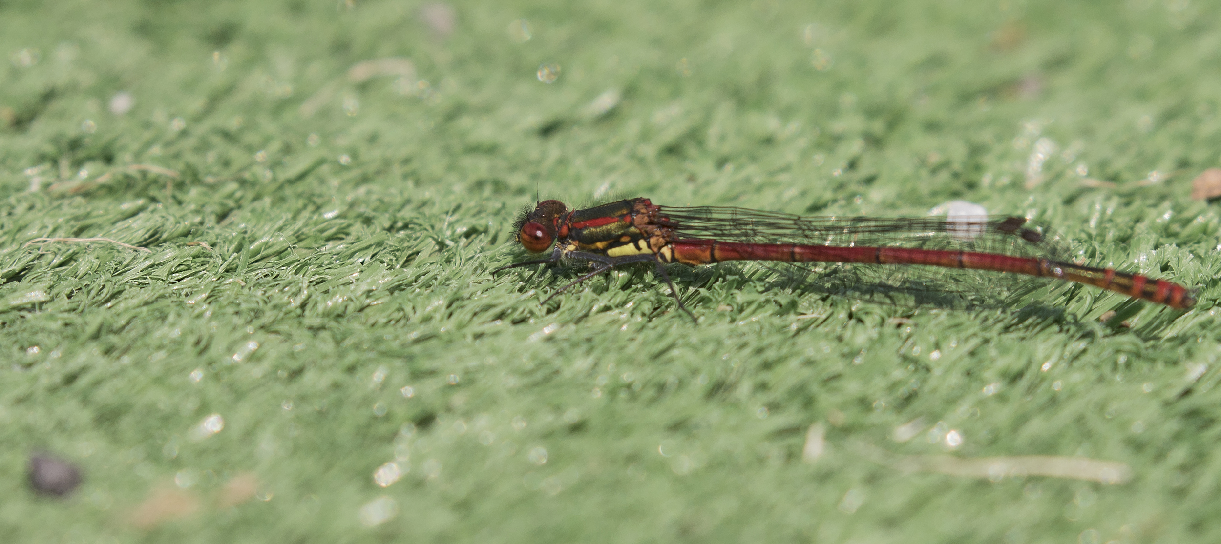 Red Damselfly 16th May.jpg