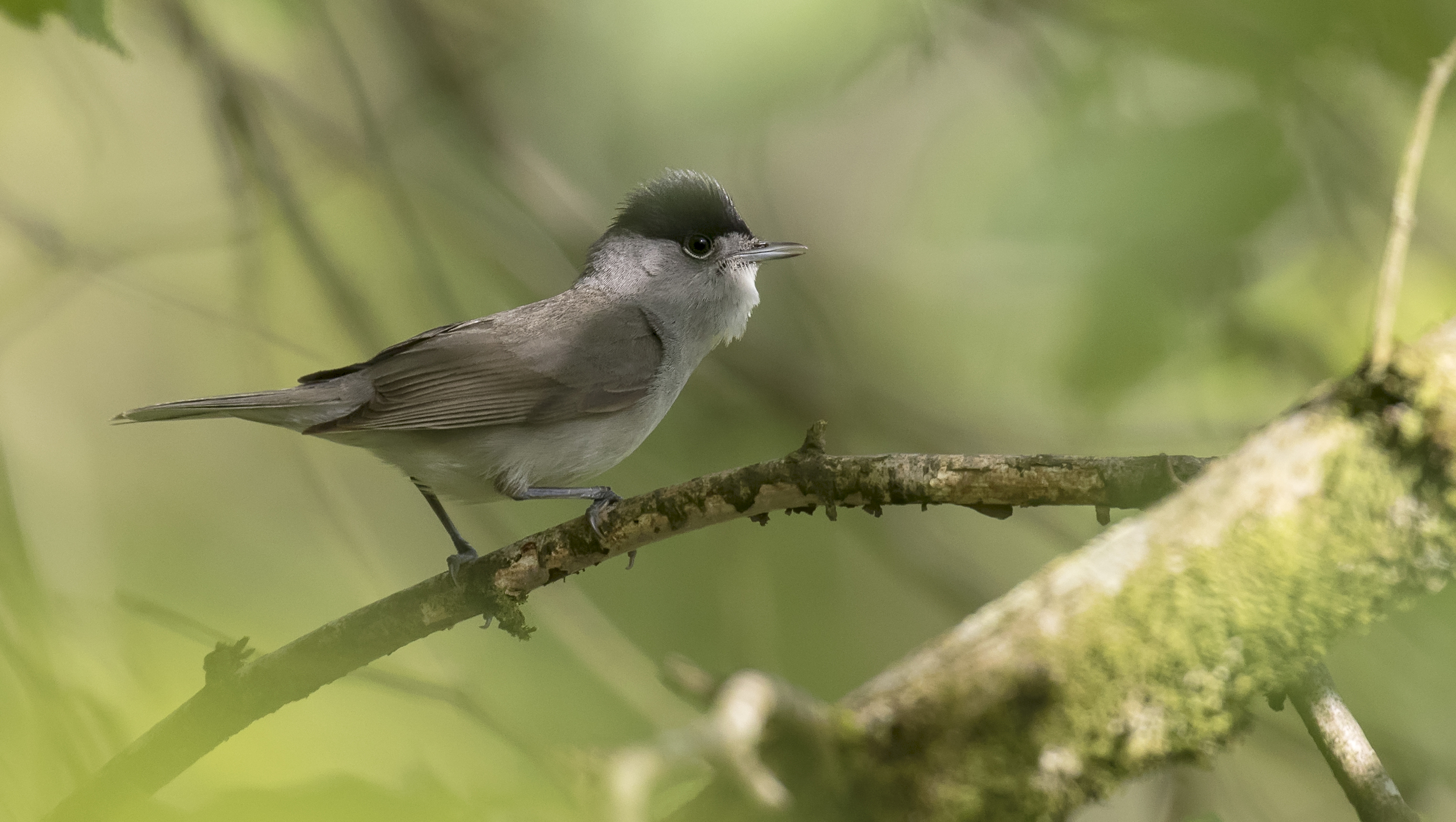 Blackcap Jungle 16th May.jpg