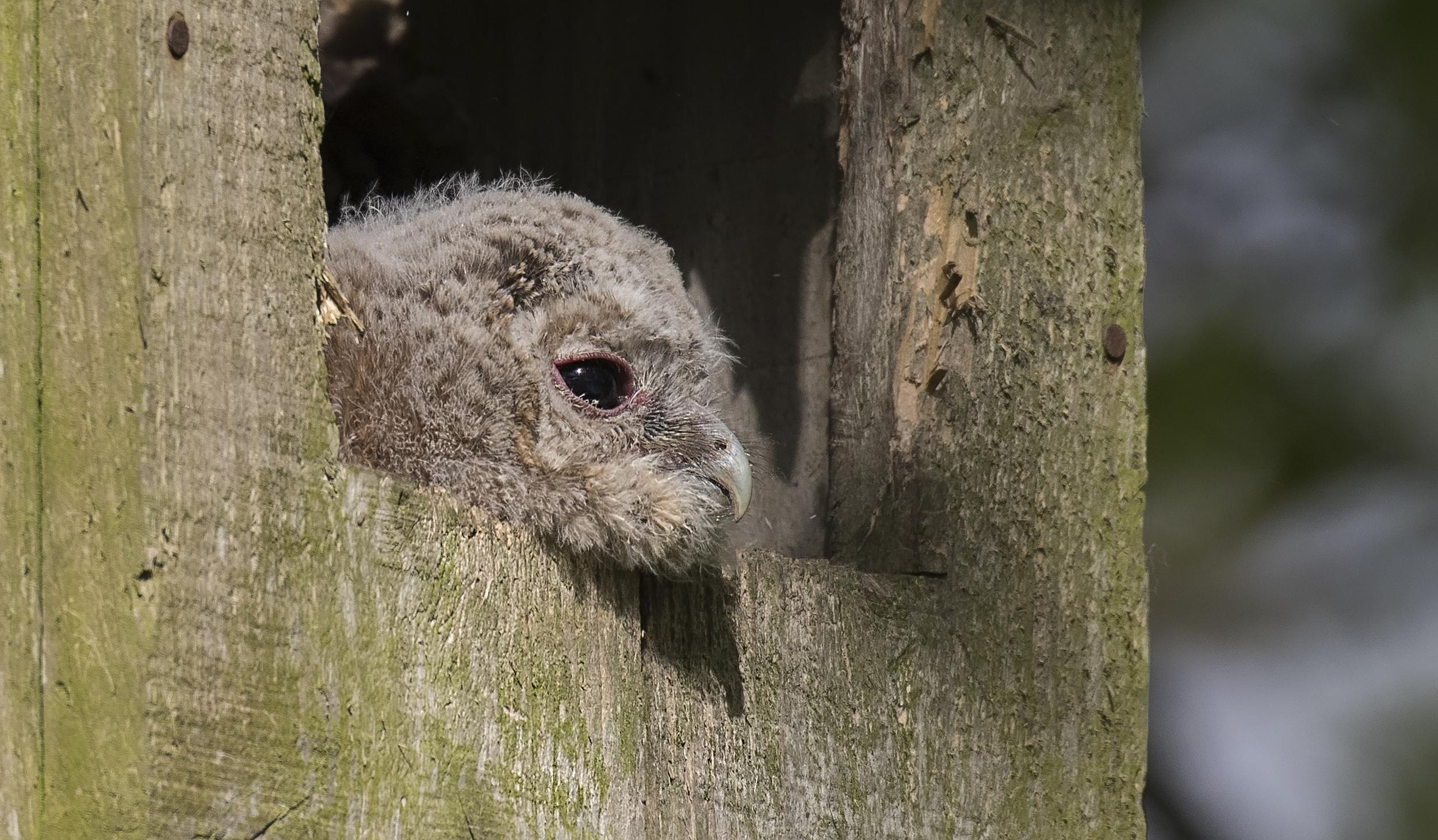 Tawny Owl Chick Peaking 17th May.jpg