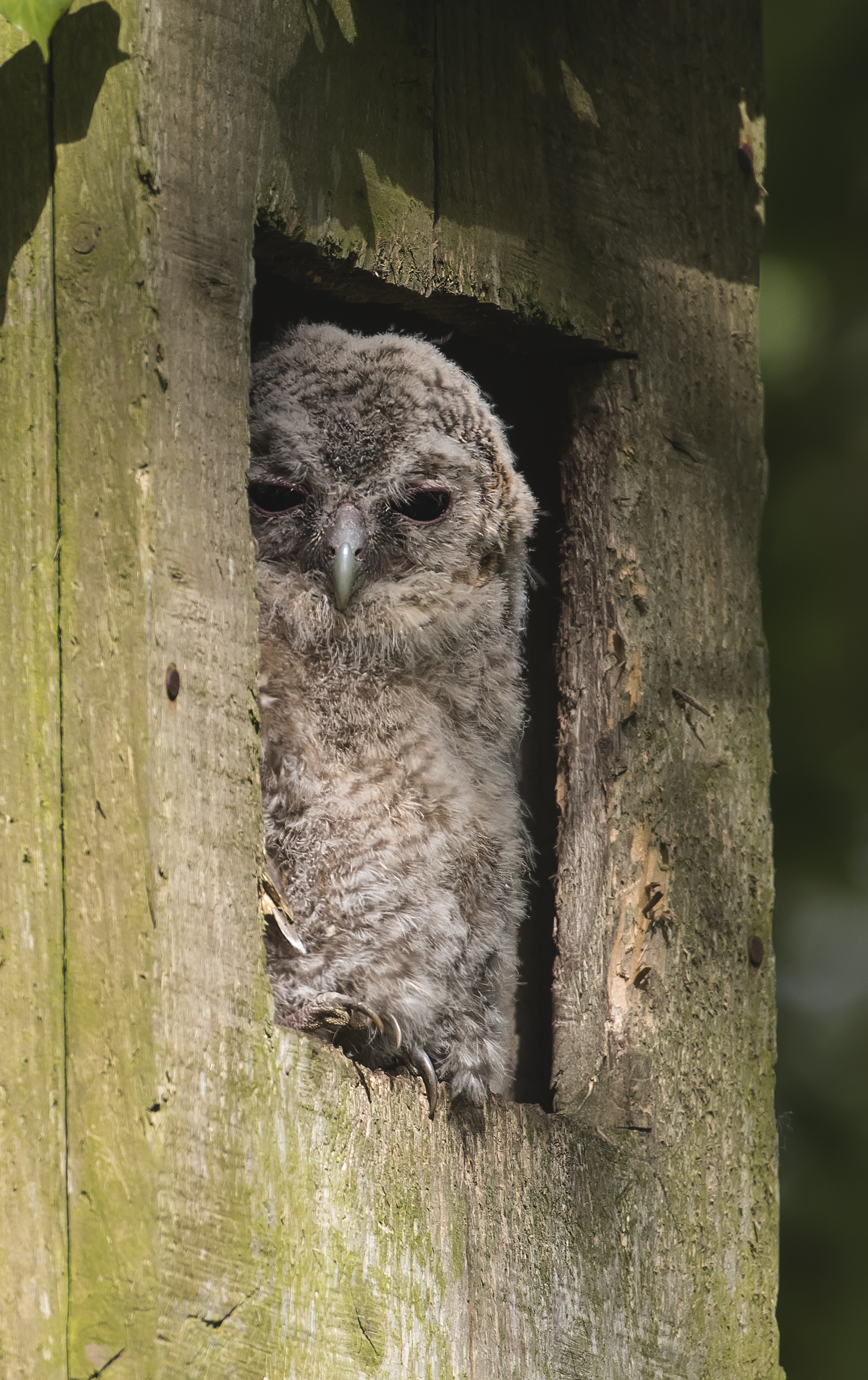 Tawny Owl Chick Portrate 17th May copy.jpg