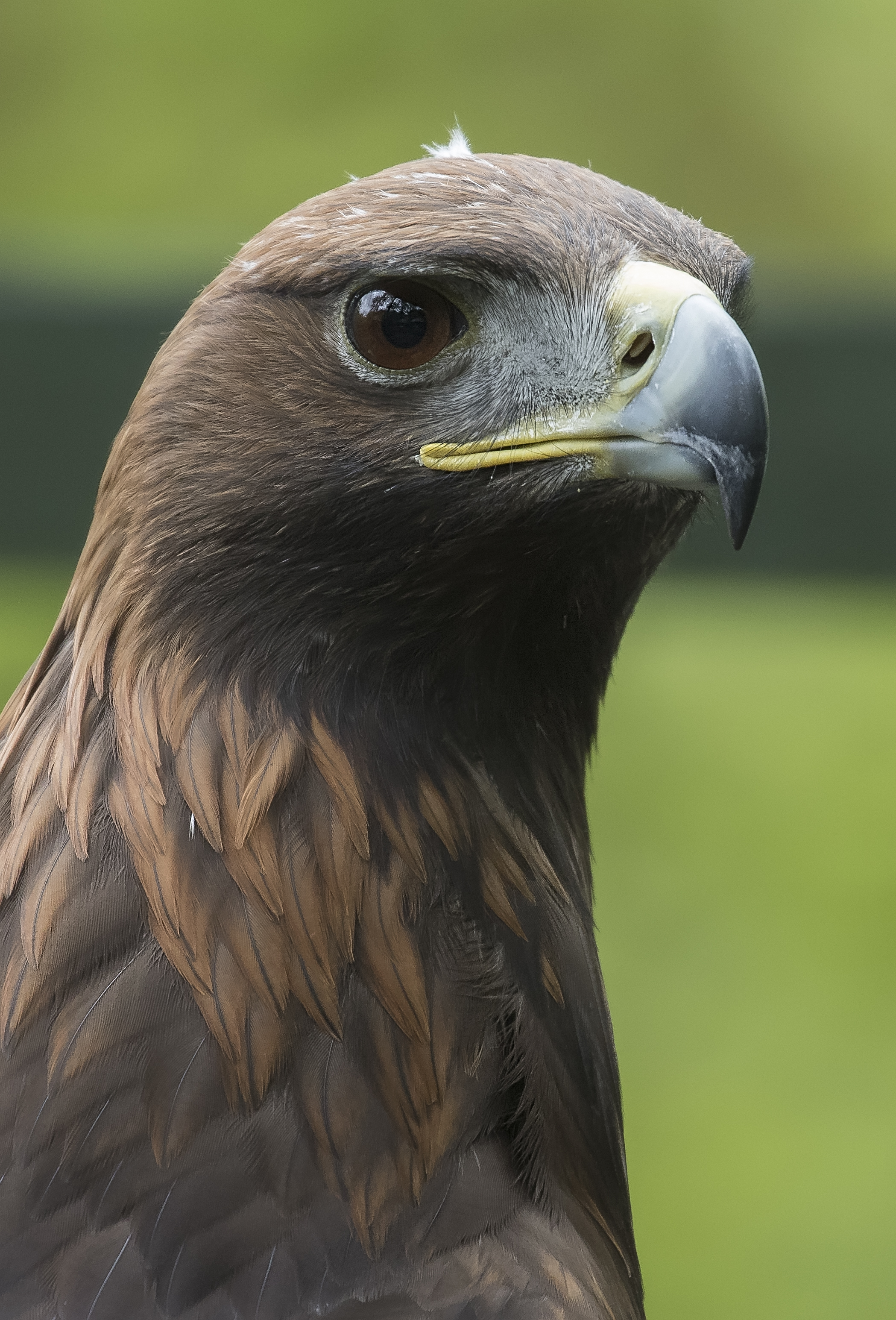 Golden Eagle 17th May.jpg
