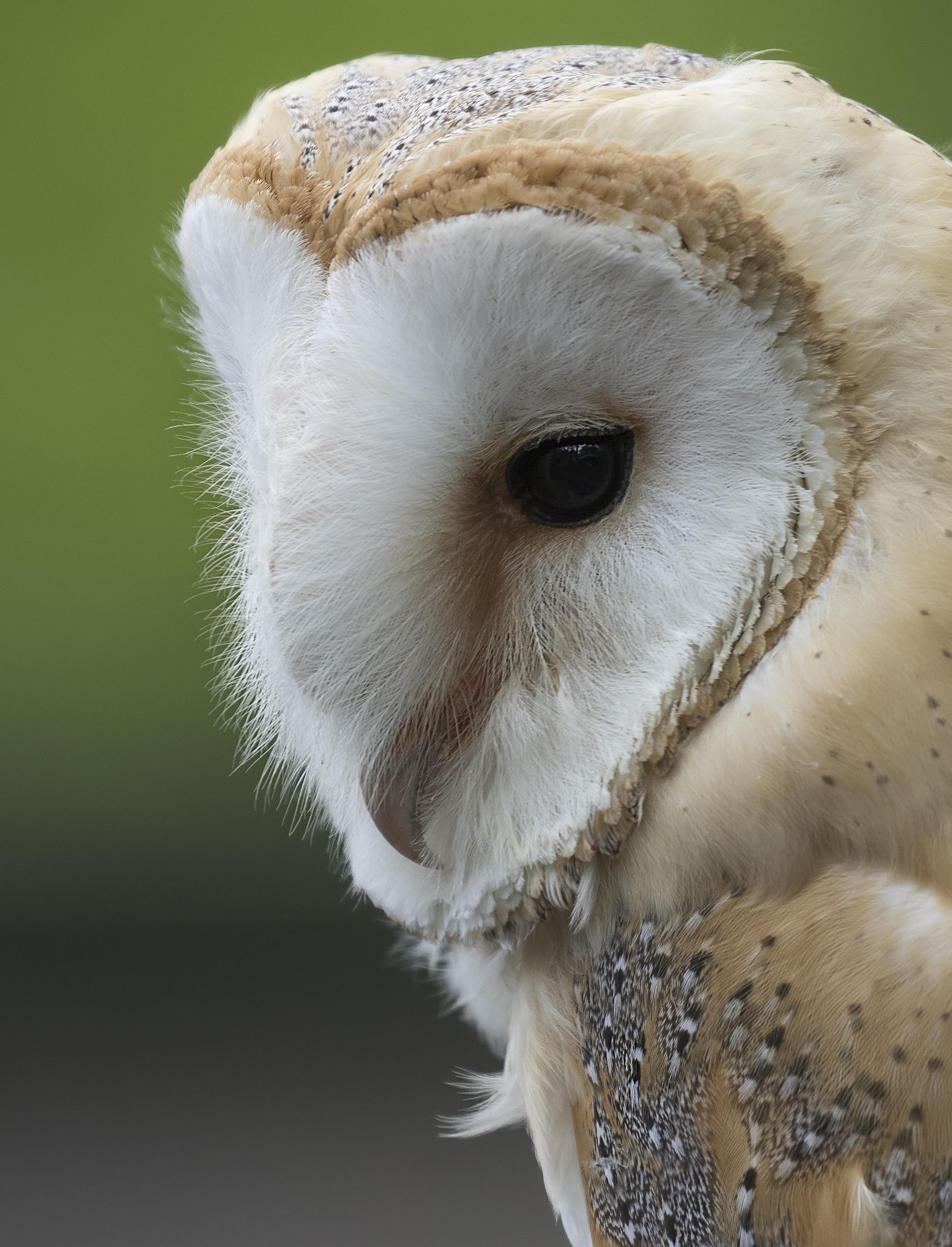 Barn Owl Crop 17th May.jpg