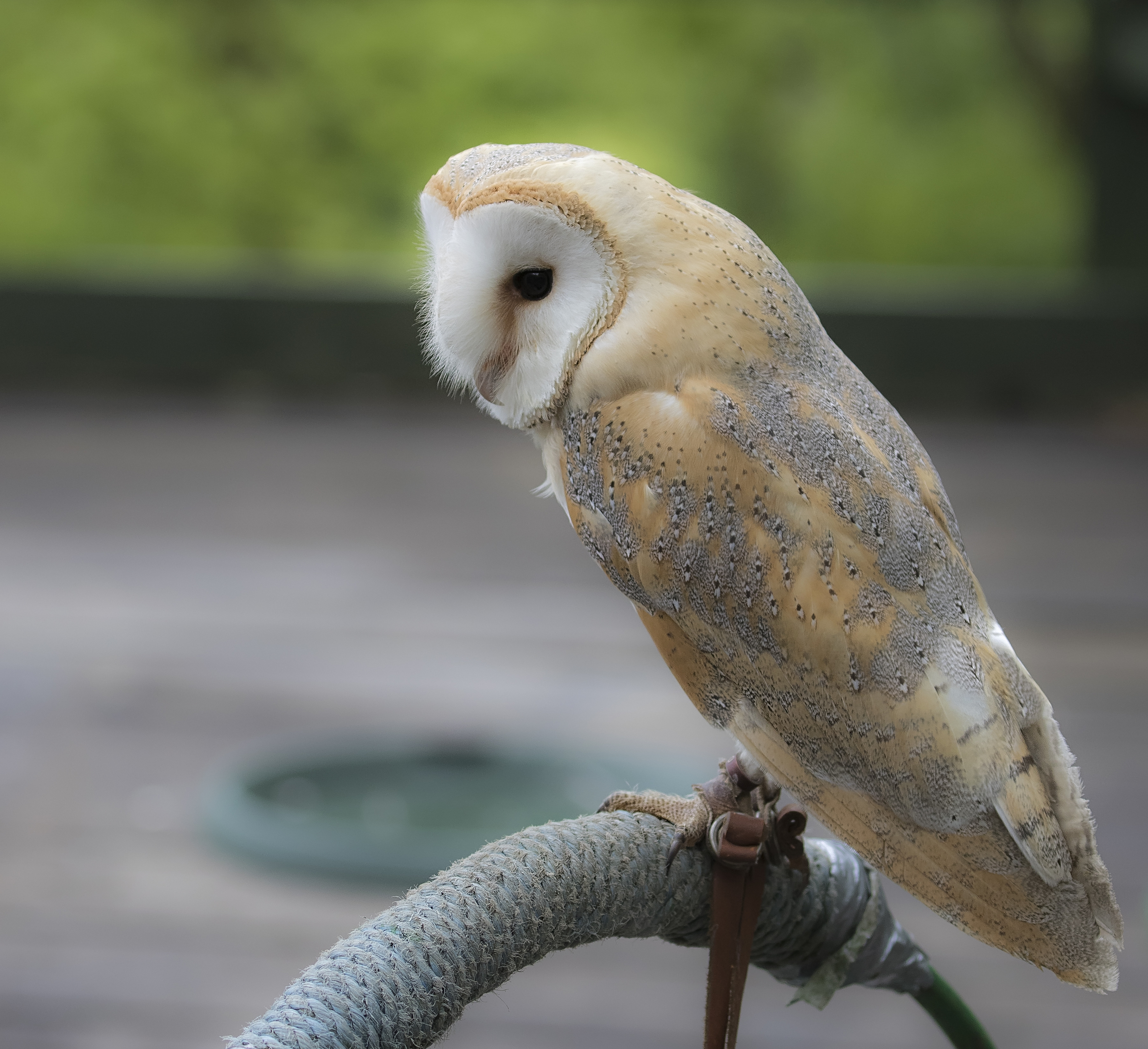 Barn Owl 17th May.jpg