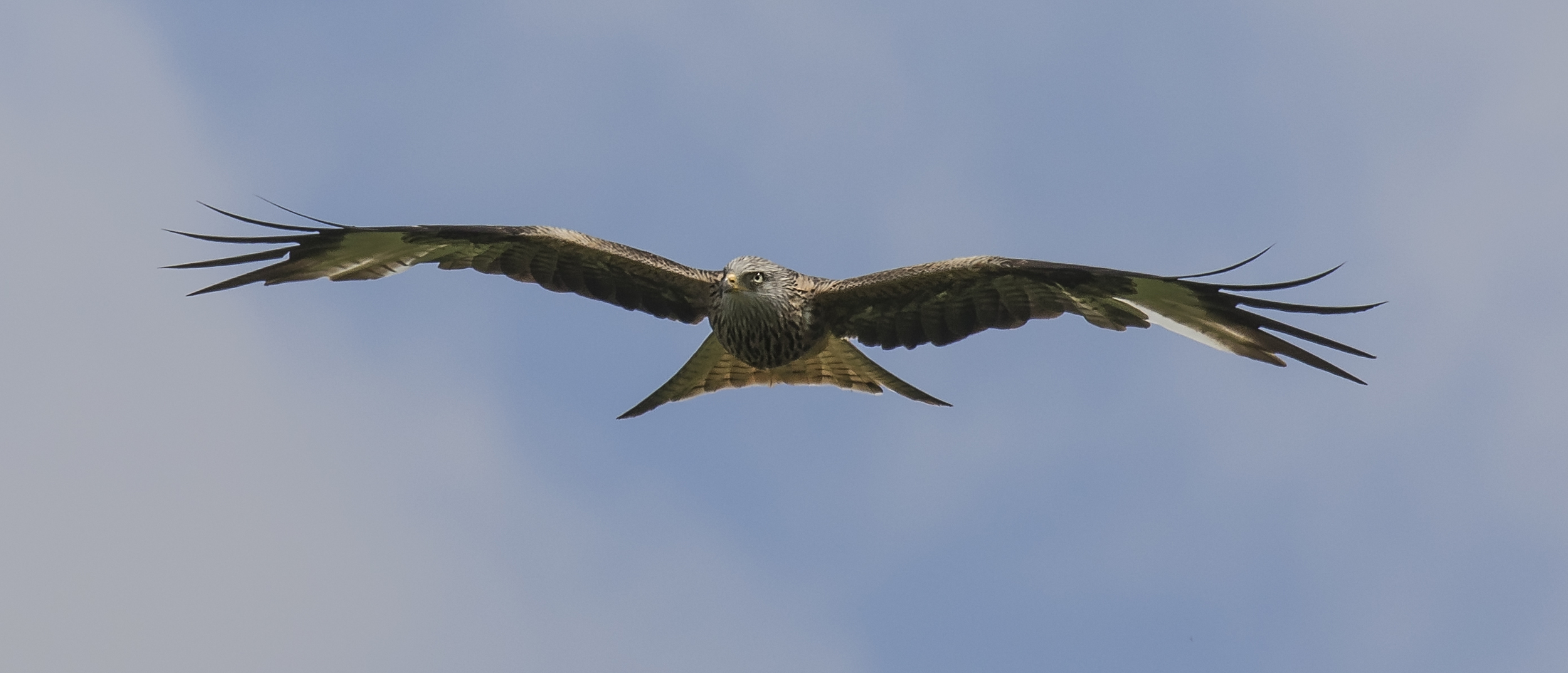 Redkite Face-on 28th May.jpg
