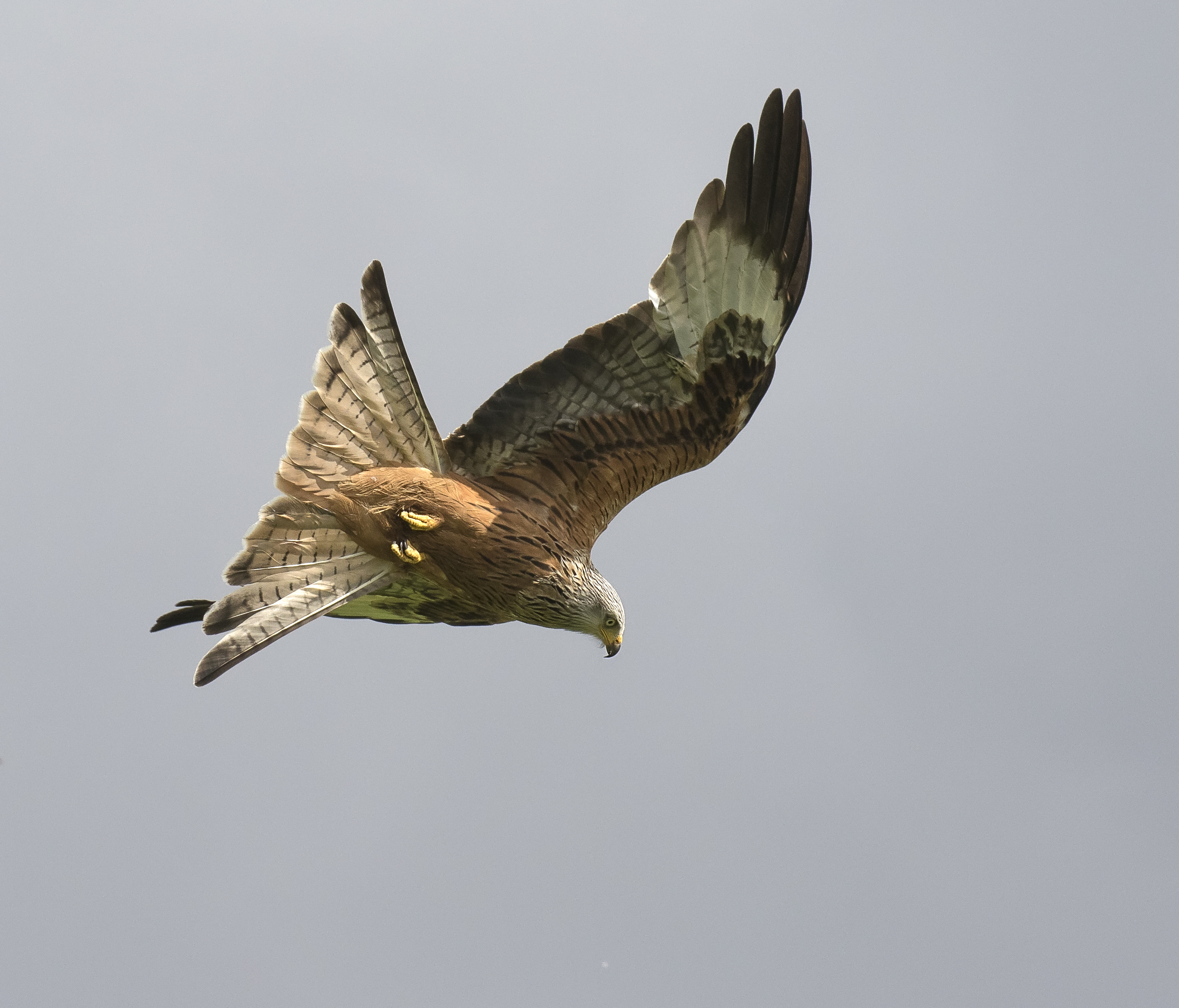 Redkite Dive 29th May.jpg