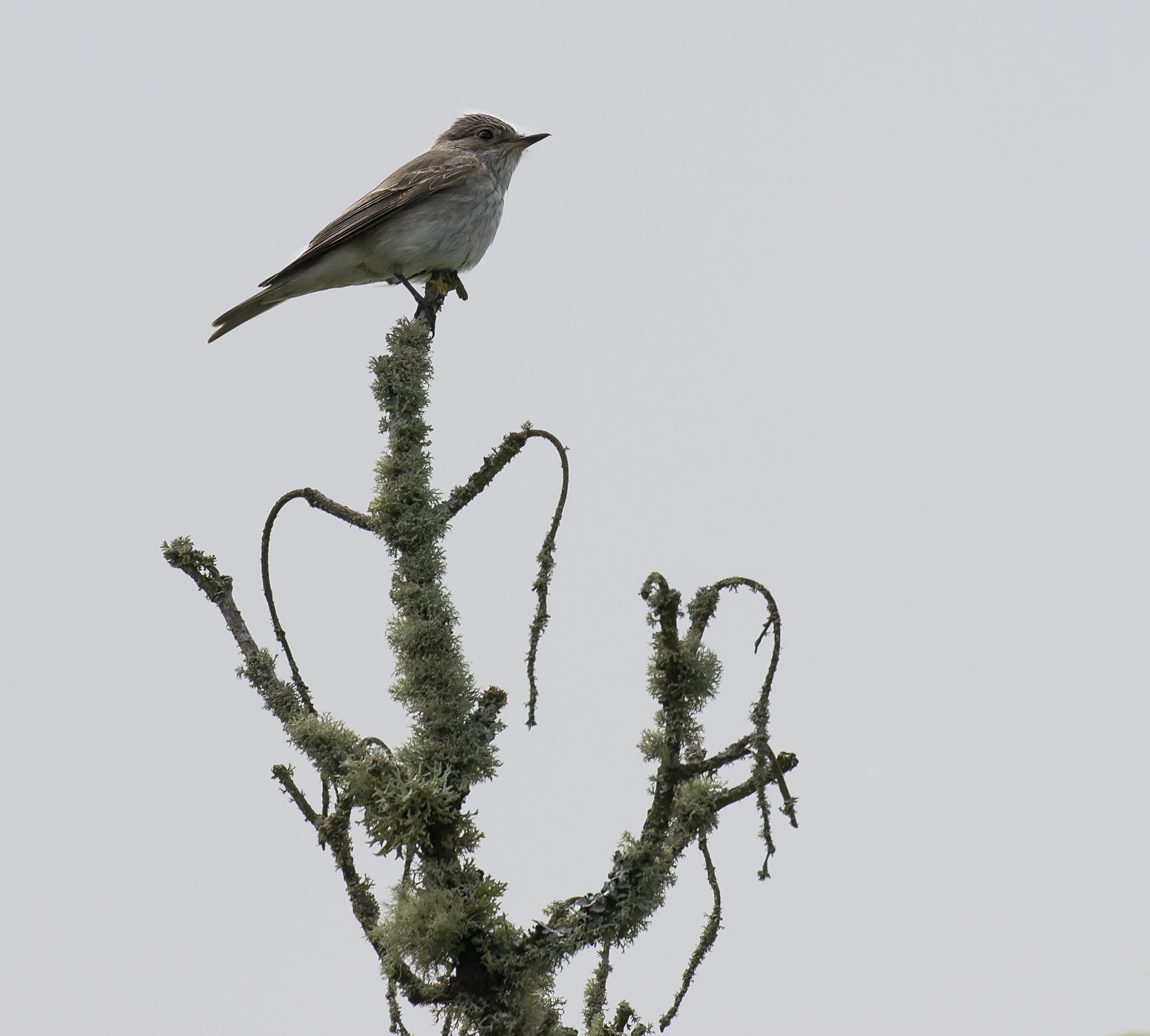Spotted Flycatcher Crop 28th May.jpg