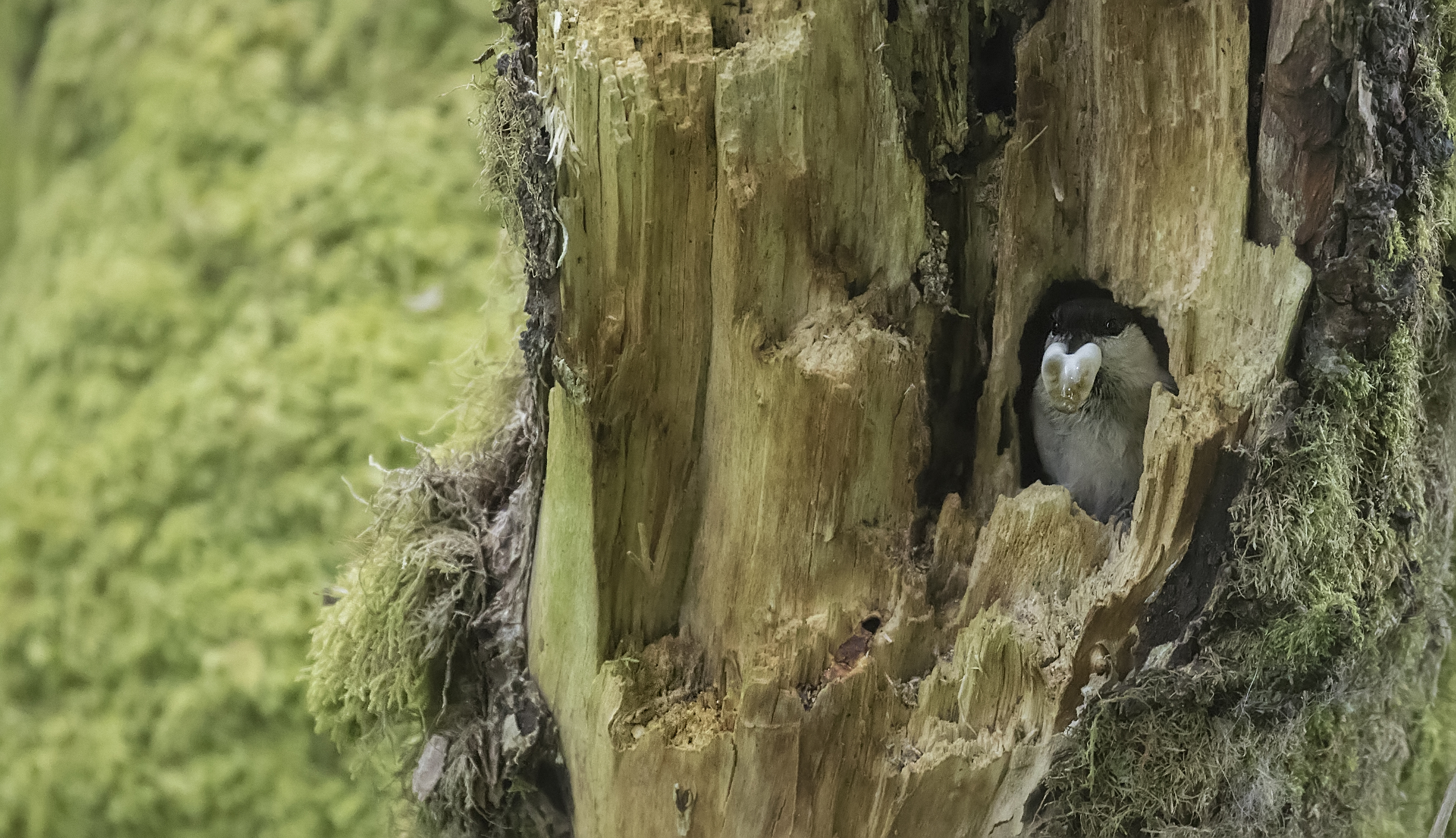 Willow Tit Home 29th May.jpg