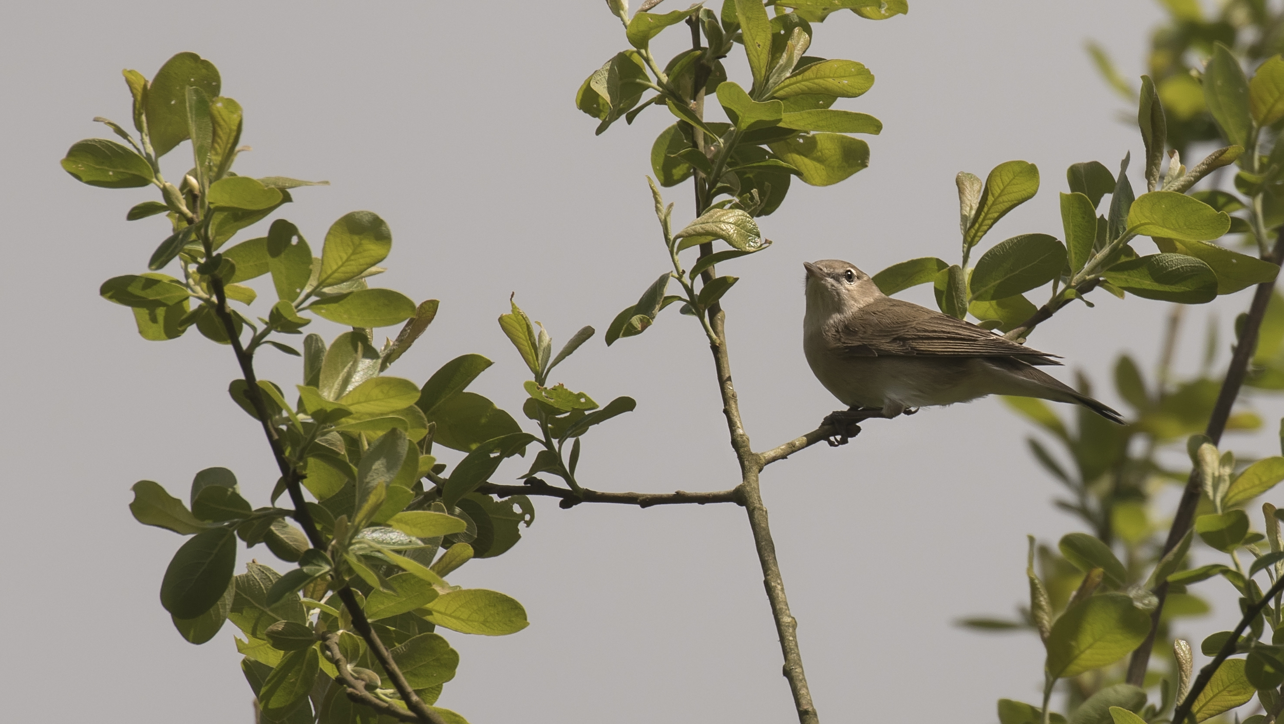 Garden Warbler 28th May.jpg