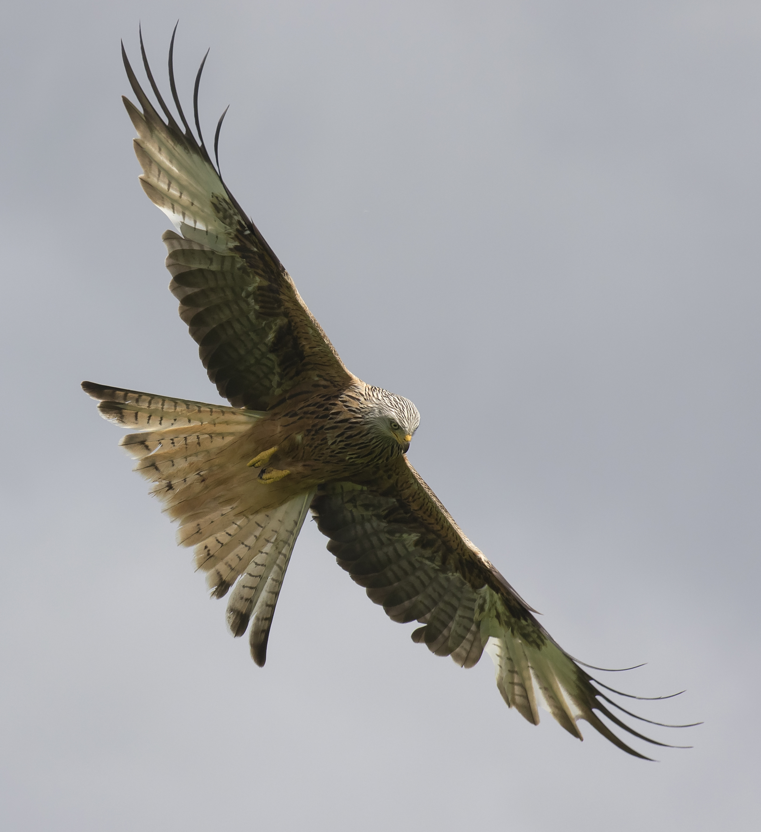 Redkite Flight Bright 28th May.jpg