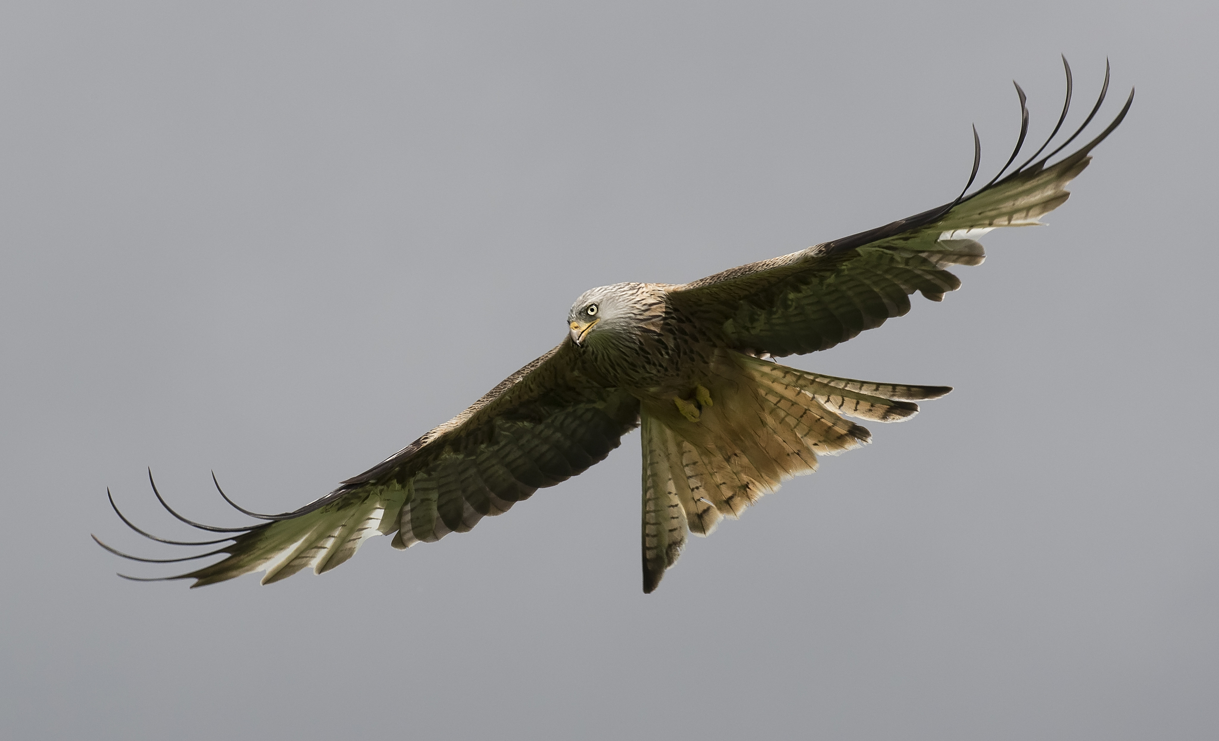 Redkite Wing Flick 28th May.jpg