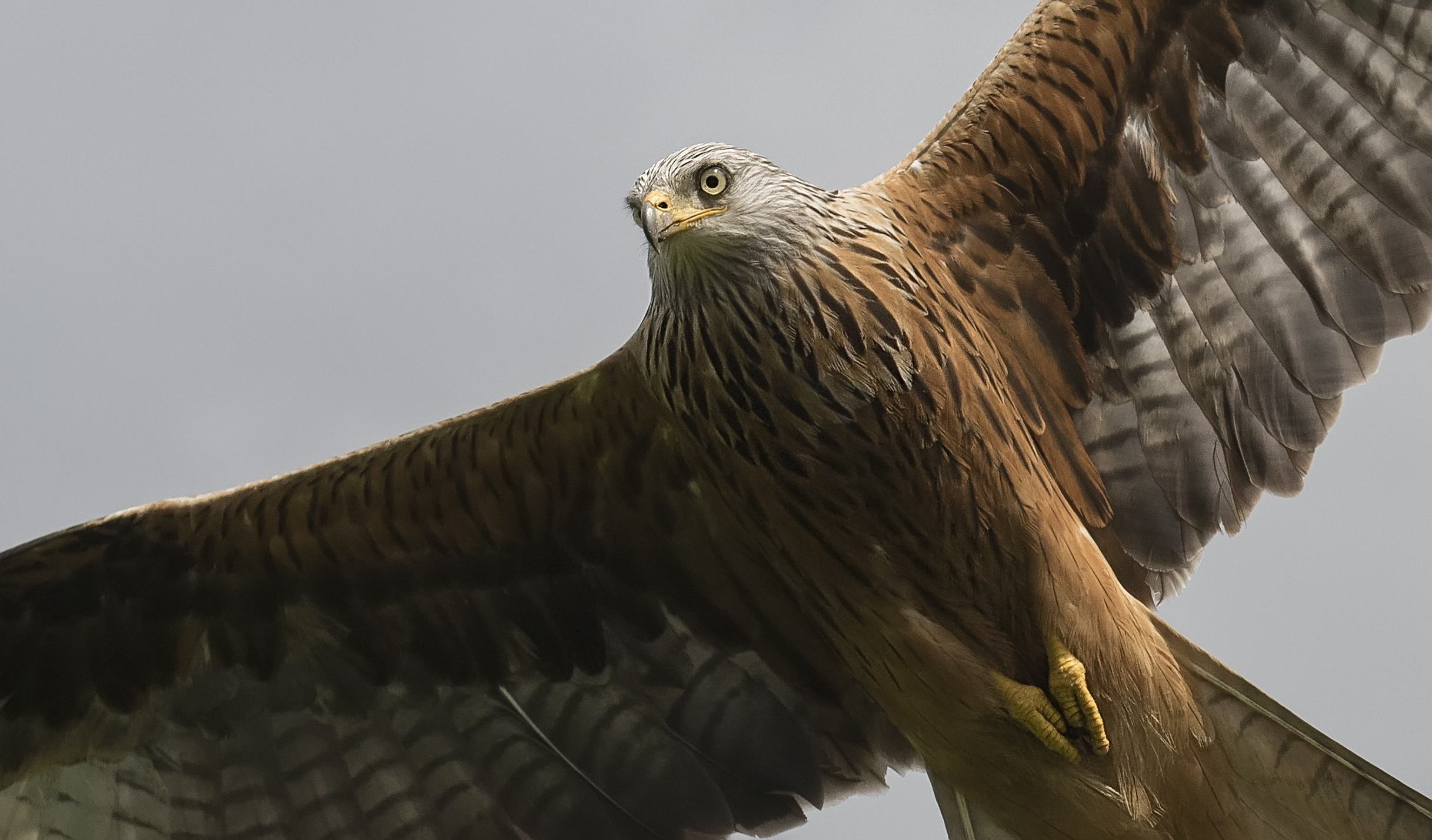 Redkite Crop 28th May.jpg
