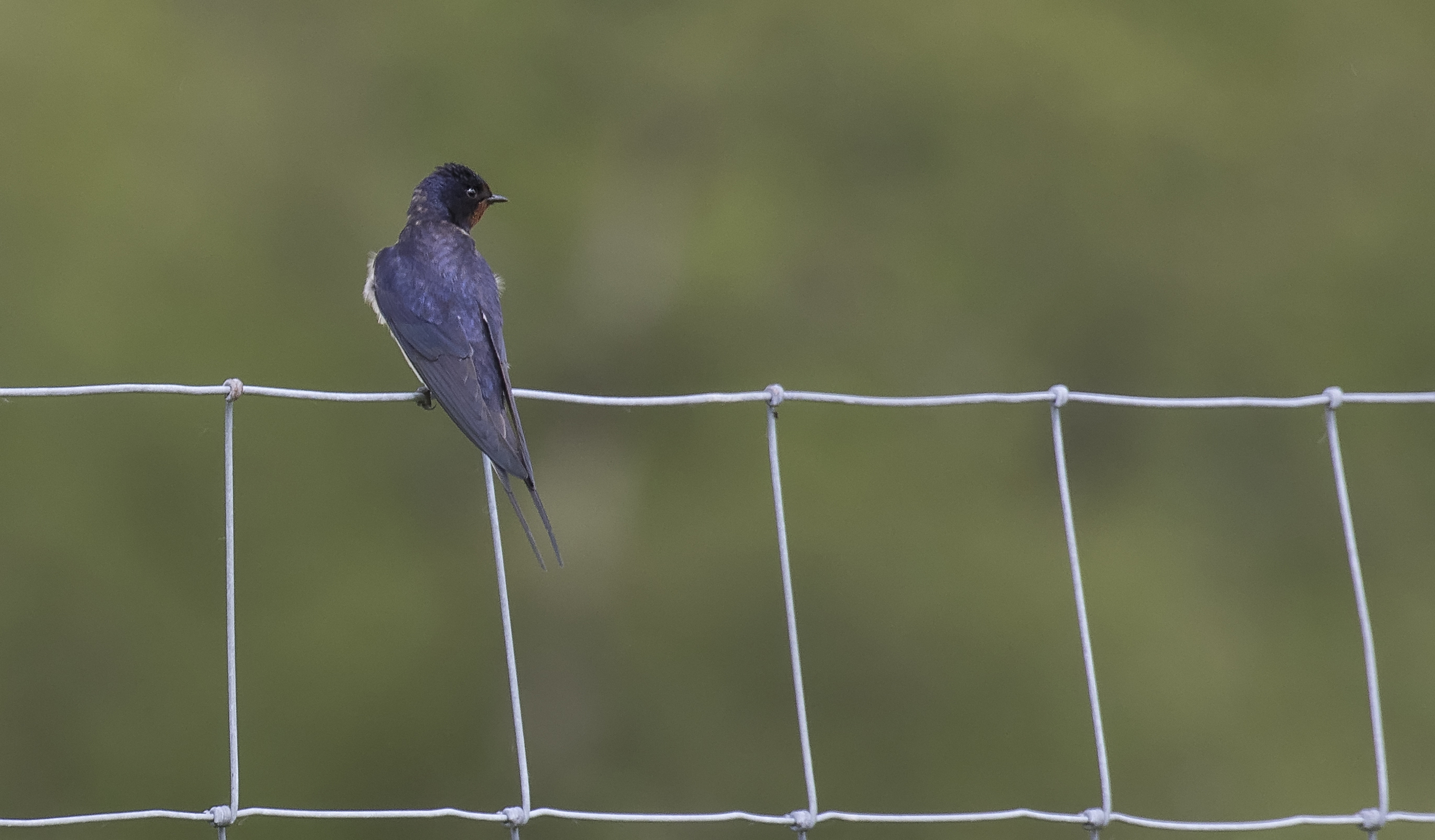 Swallow Fence 28th May.jpg