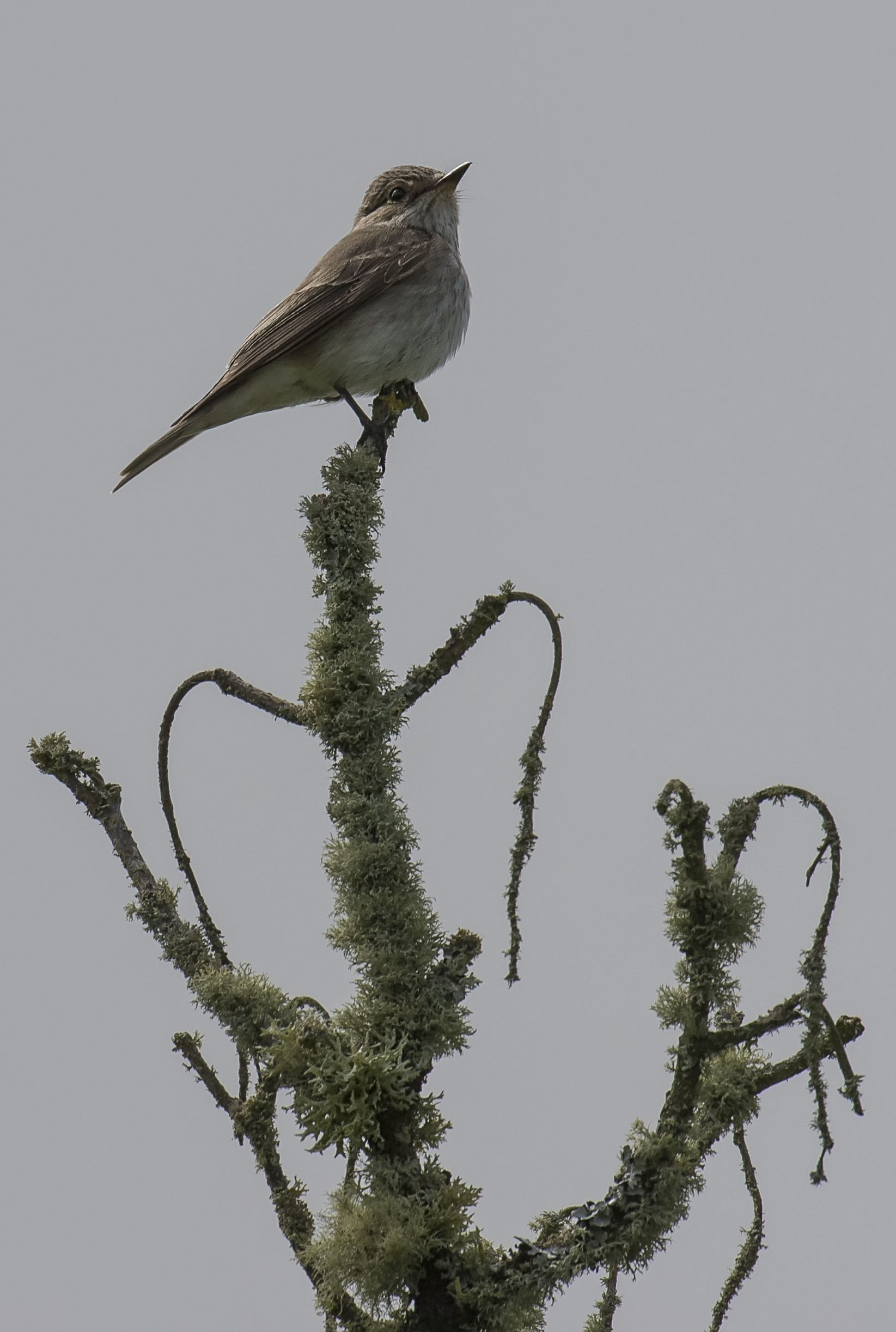 Spotted Flycatcher 28th May.jpg