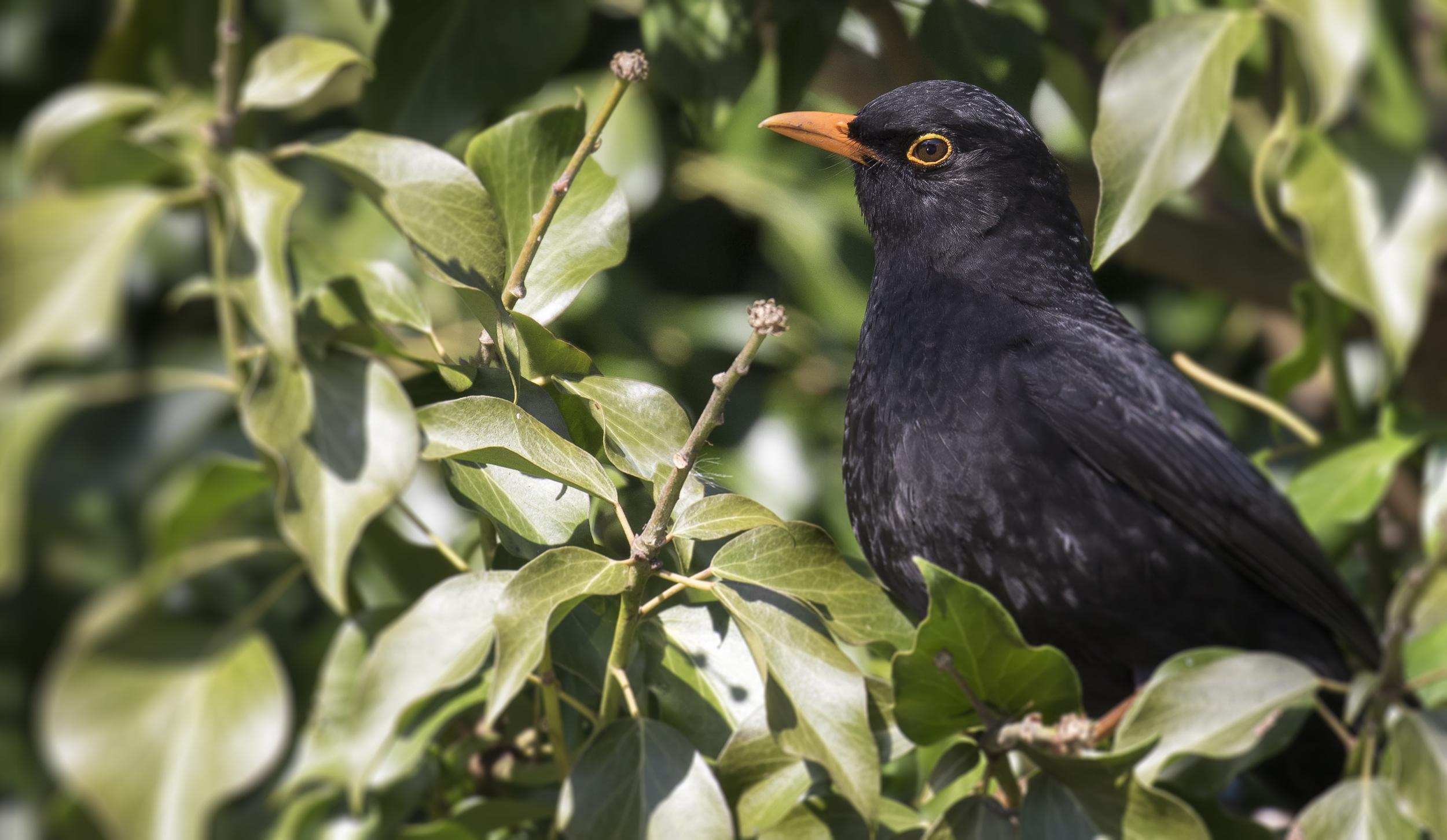 Blackbird Ivy bush 7th March.jpg