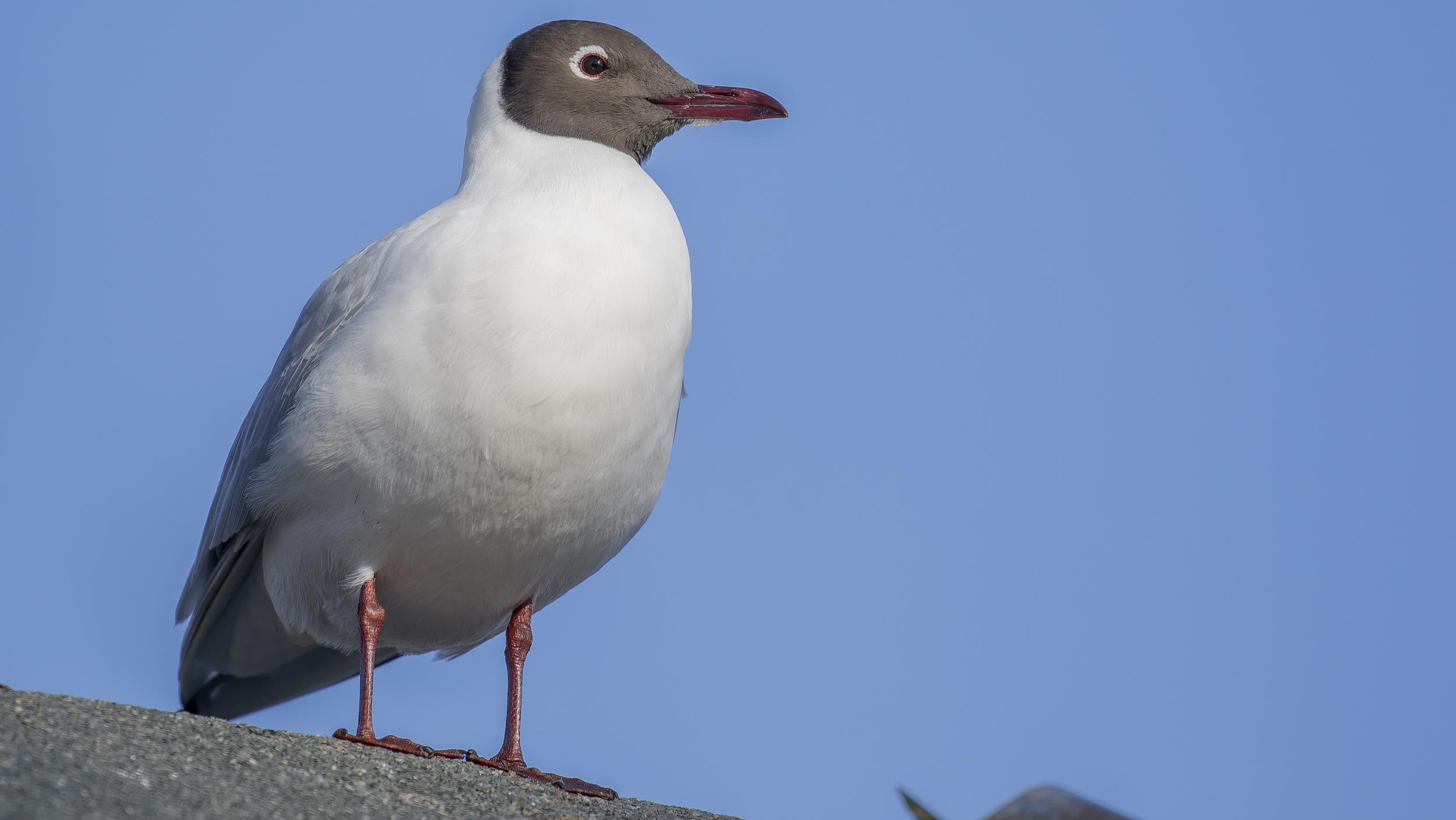 Backheaded Gull 7th March.jpg