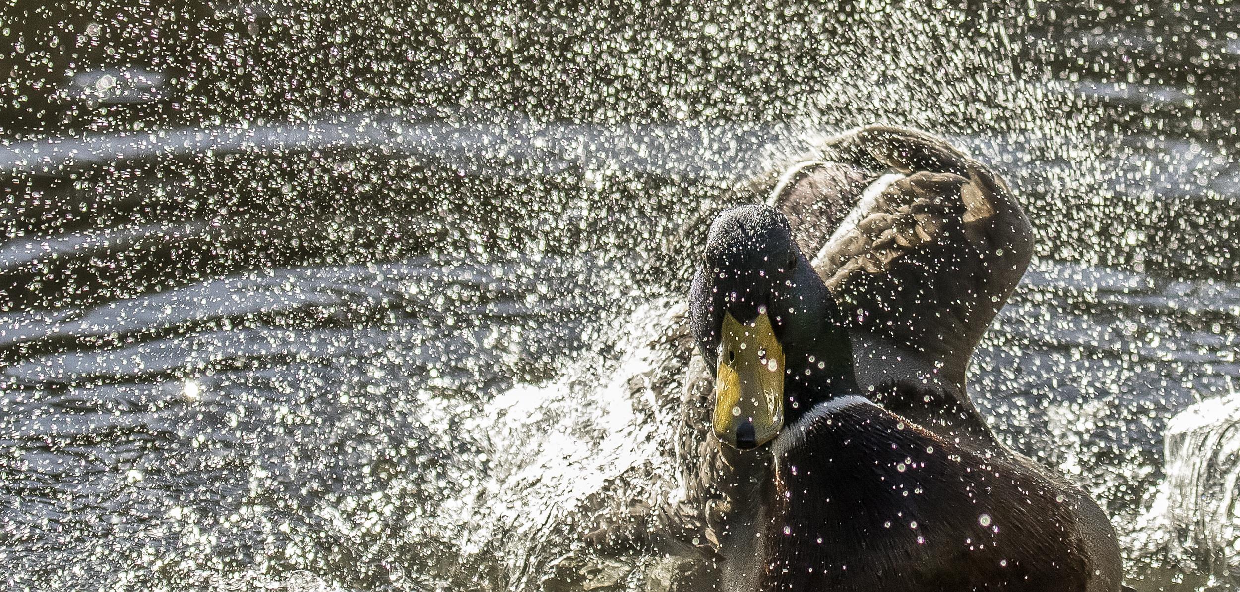 Mallard blacklit Splash 7th March.jpg