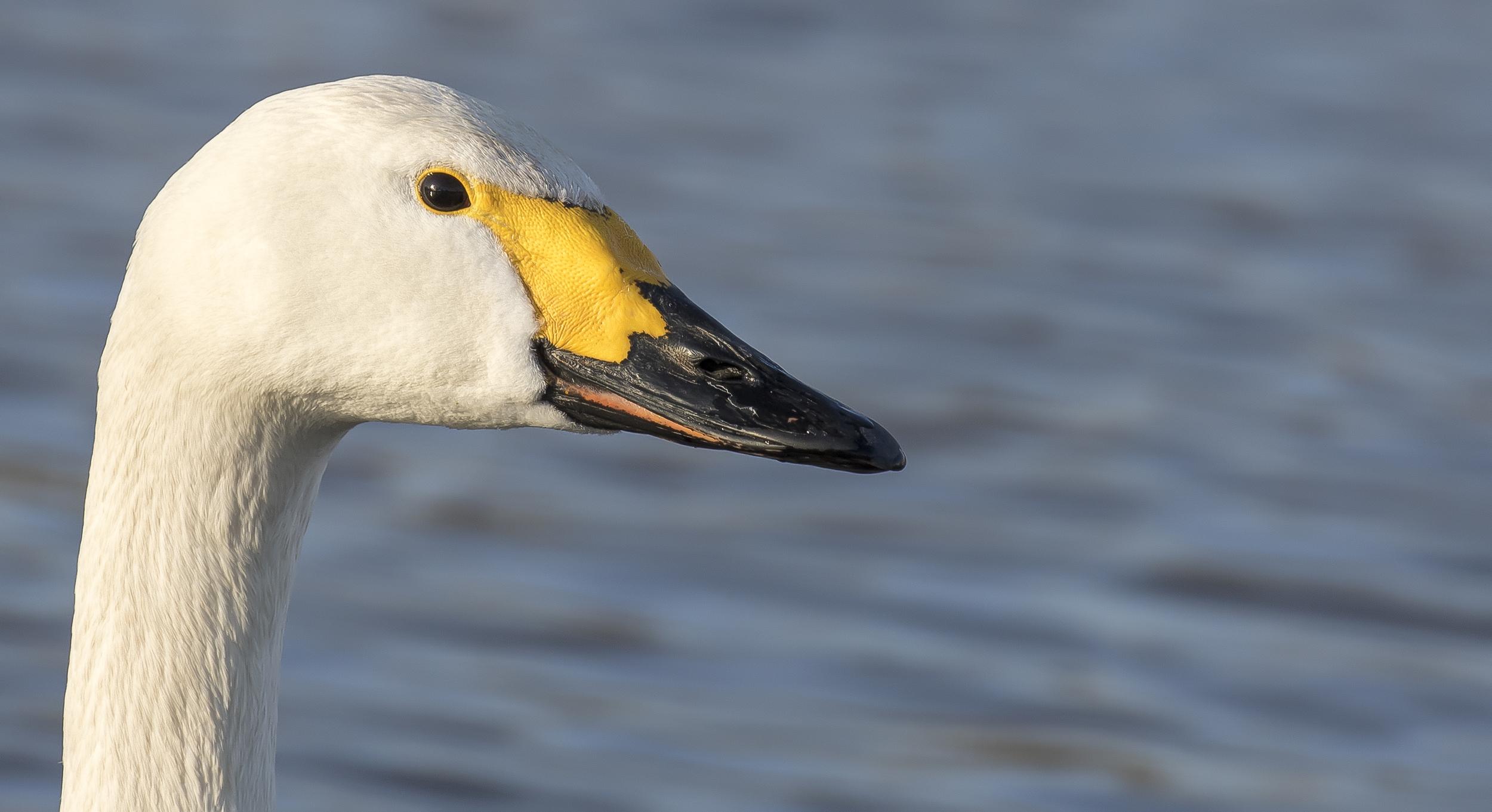 Bewicks Swan 7th March.jpg