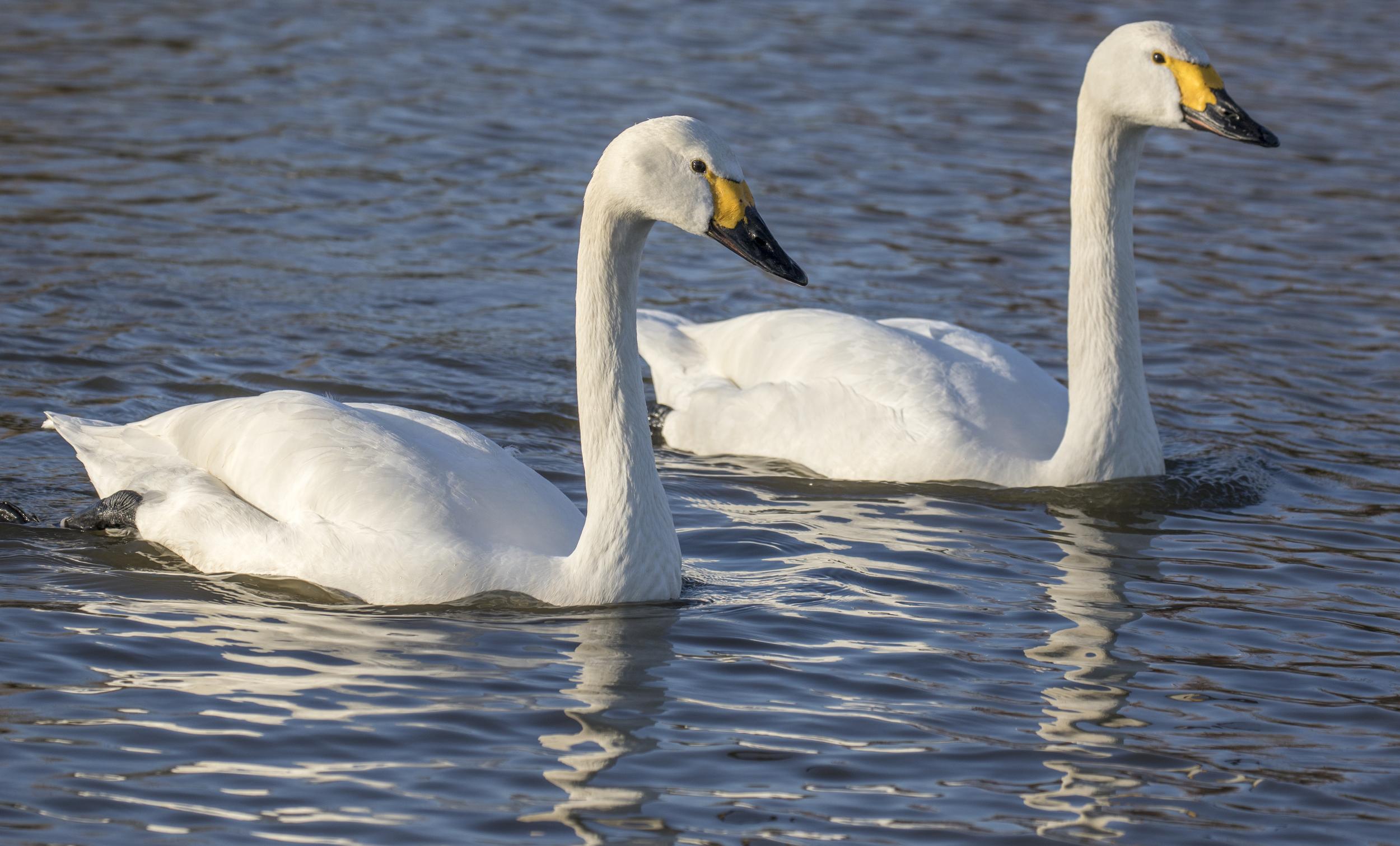 Bewicks Swans 7th March.jpg