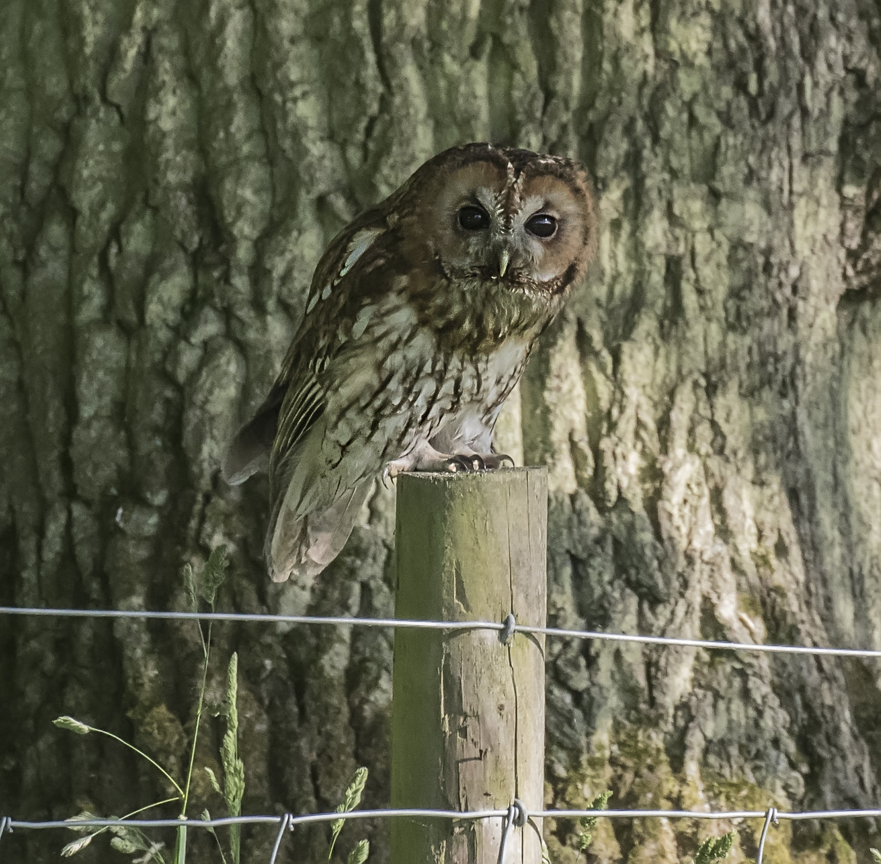 Tawny Owl Crop 4th June.jpg