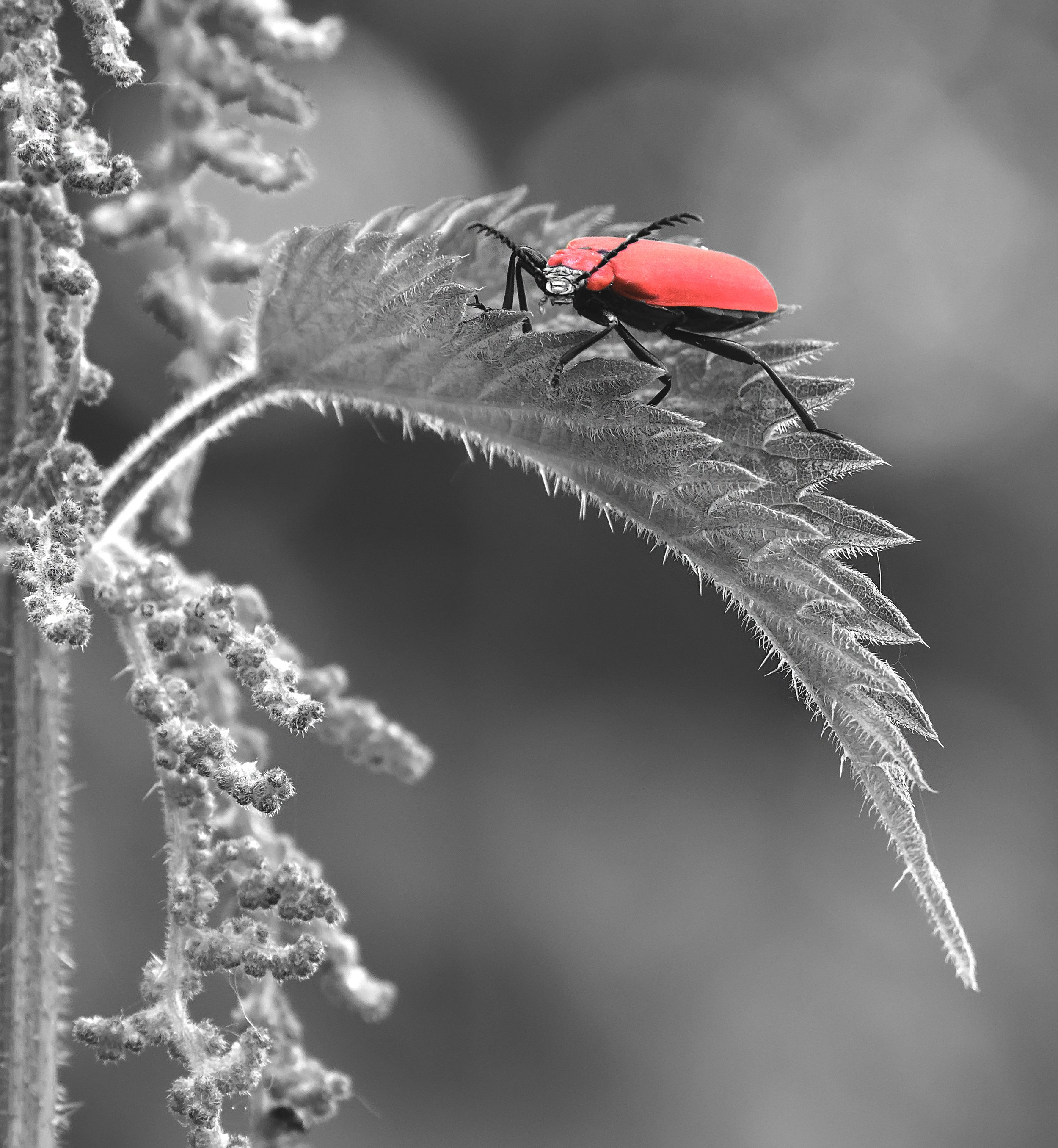 Cardinal Beetle B&W 4th June.jpg