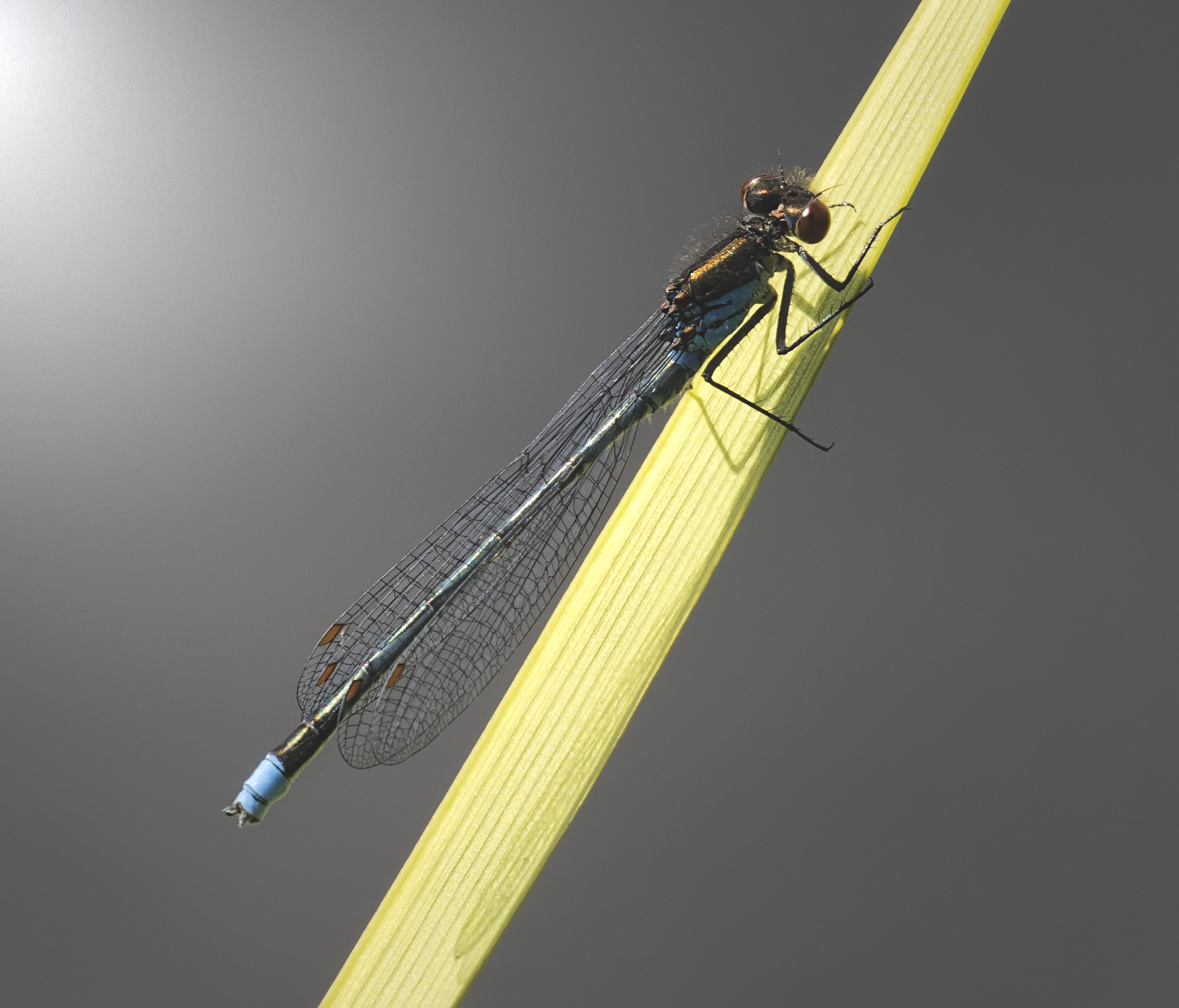 Red-eyed Damselfly .jpg
