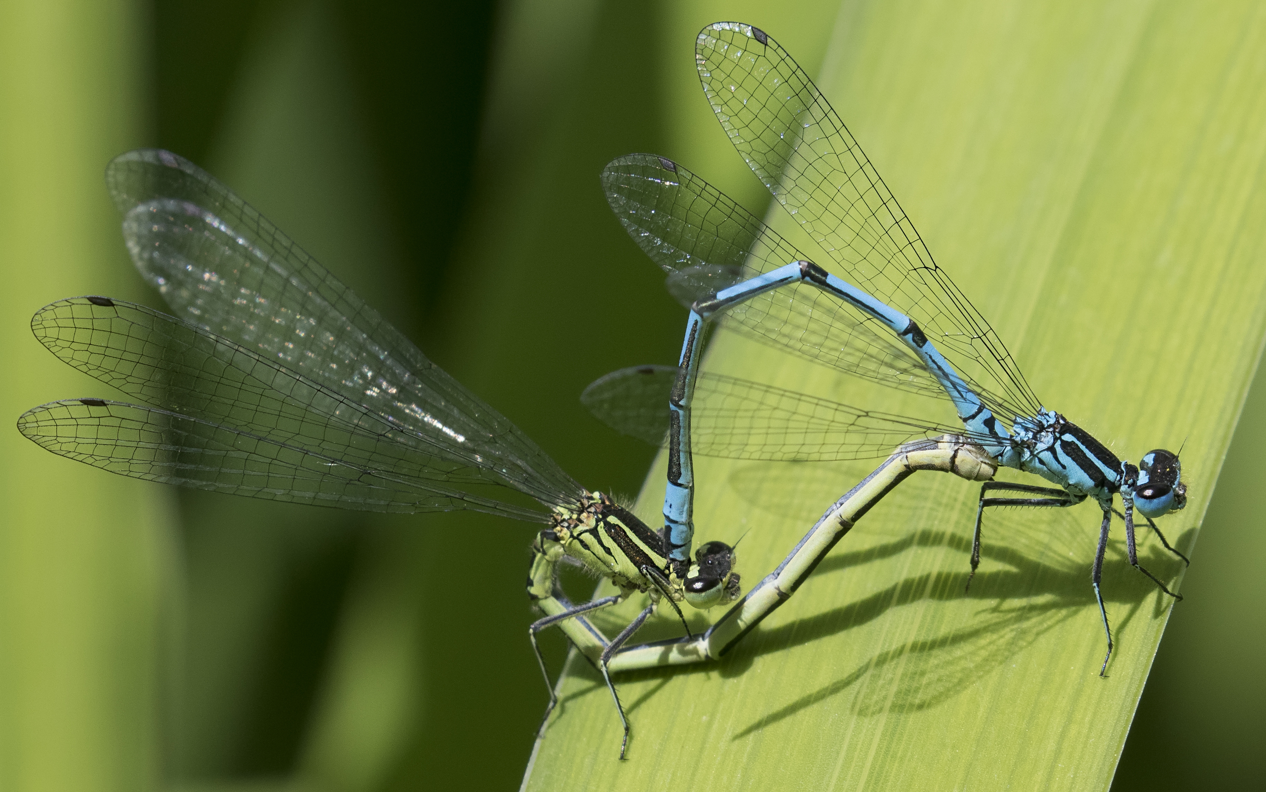 Azure Damselfly Pair 4th June.jpg