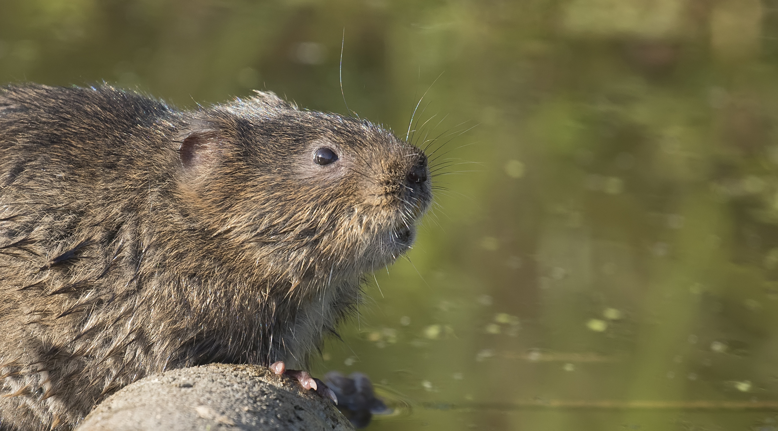 Watervole 7th June.jpg