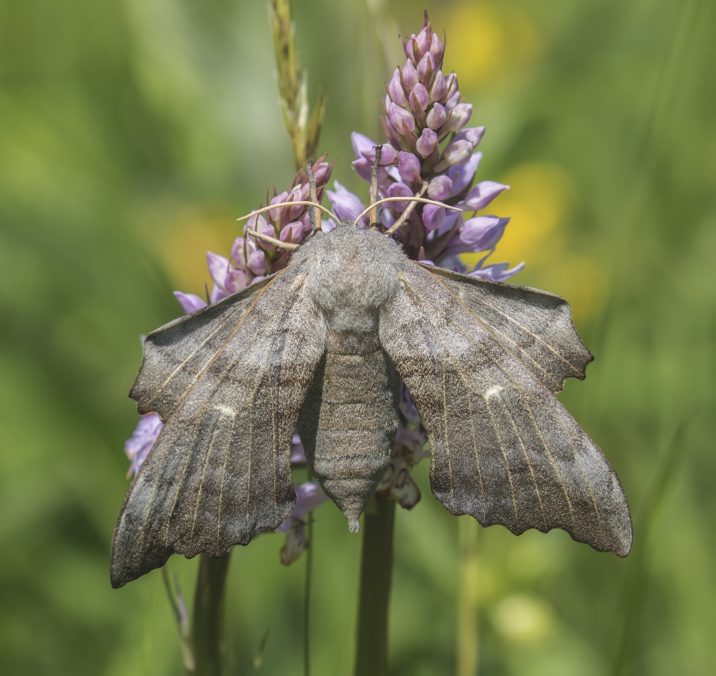 Poplar Hawk-moth Orchid 7th June.jpg