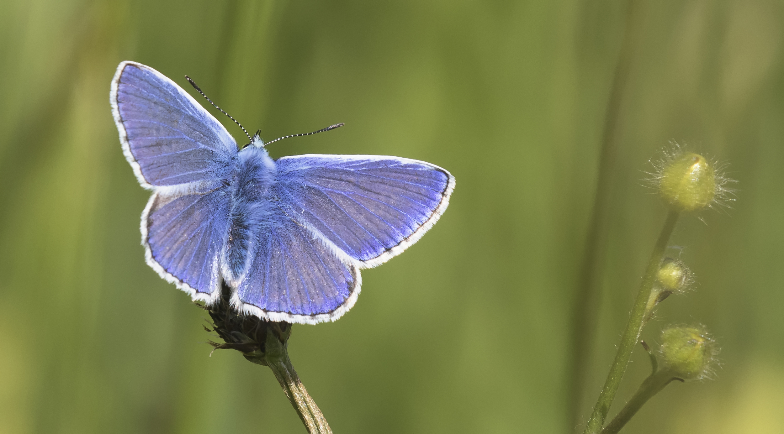 Common Blue 7th June.jpg