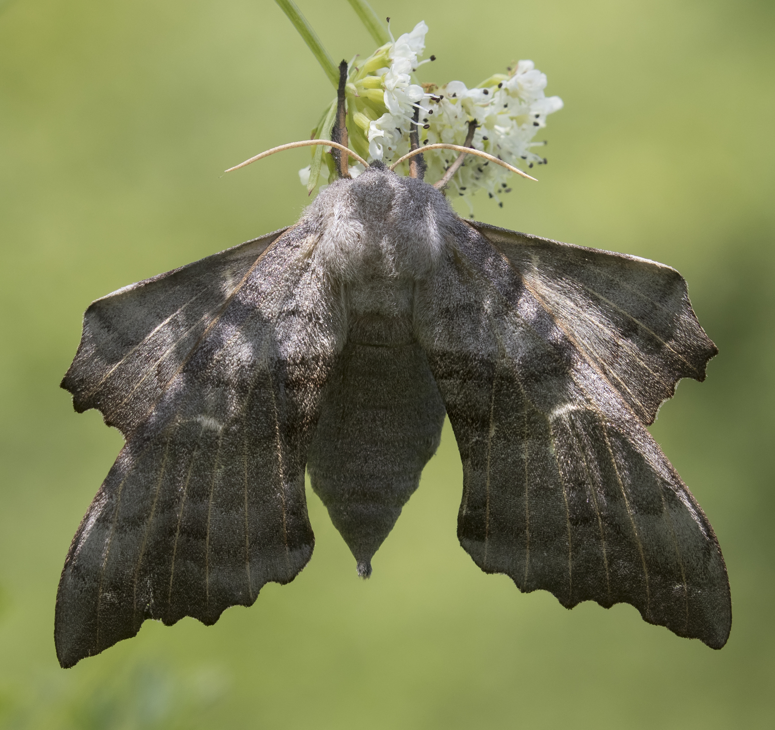 Poplar Hawk-moth 7th June Crop.jpg