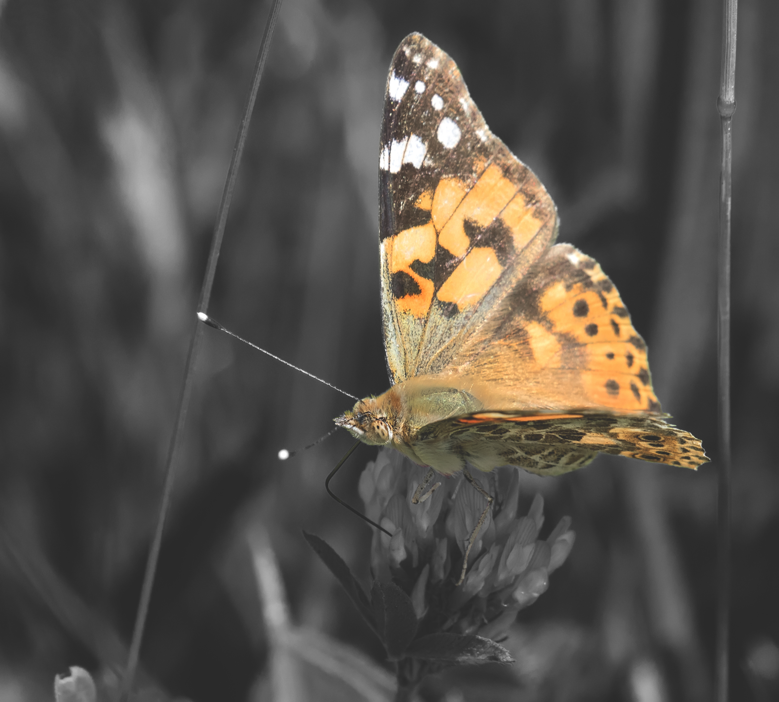 Painted Lady 7th June.jpg