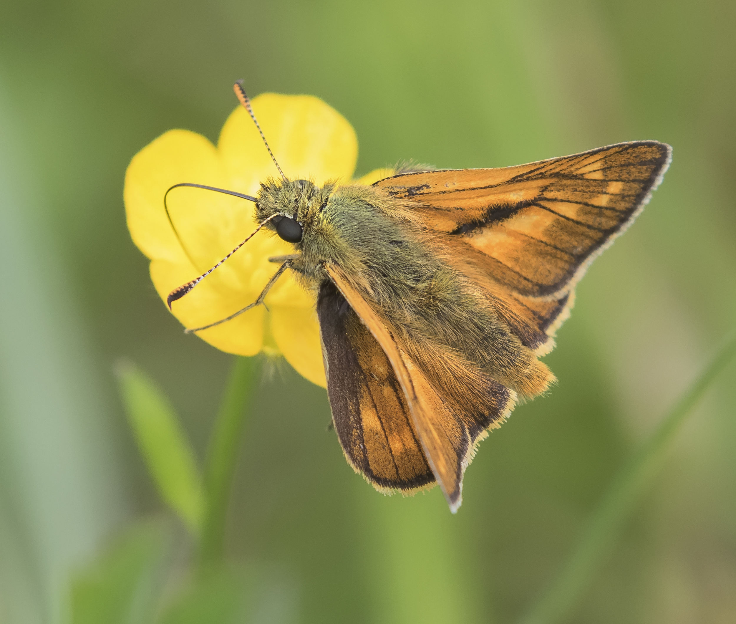 Large Skipper 7th June.jpg