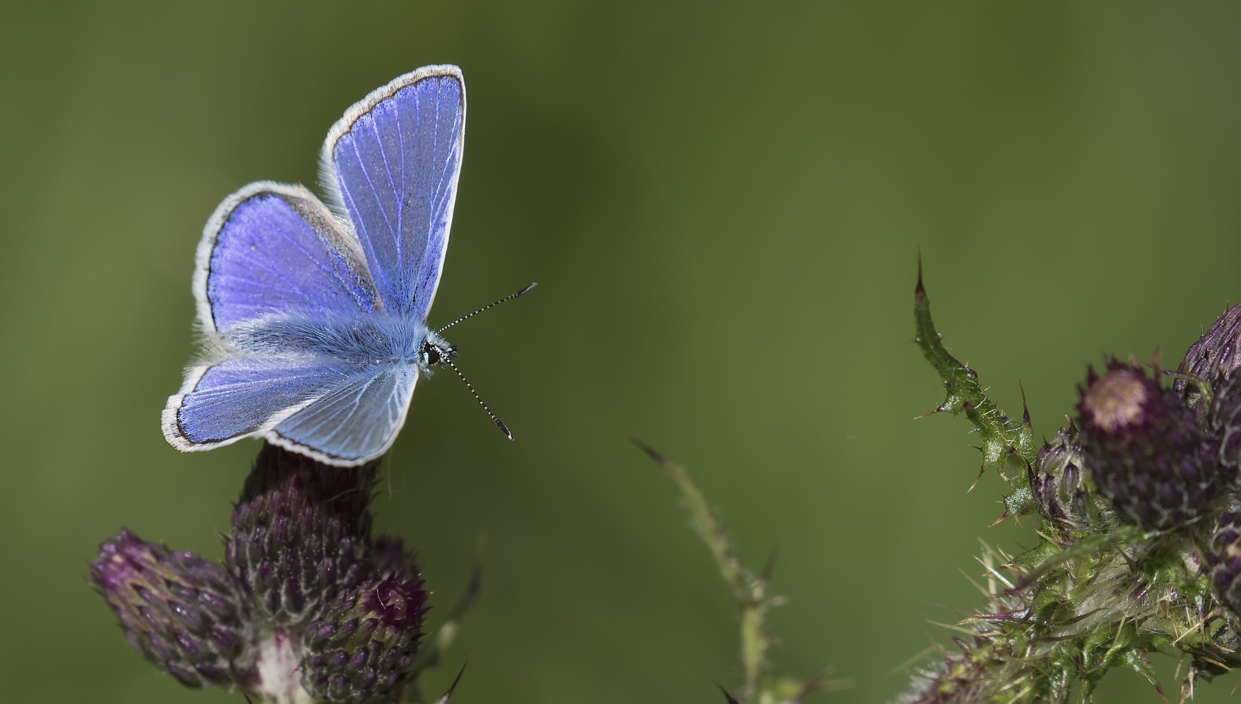 Common Blue Open 6th June.jpg