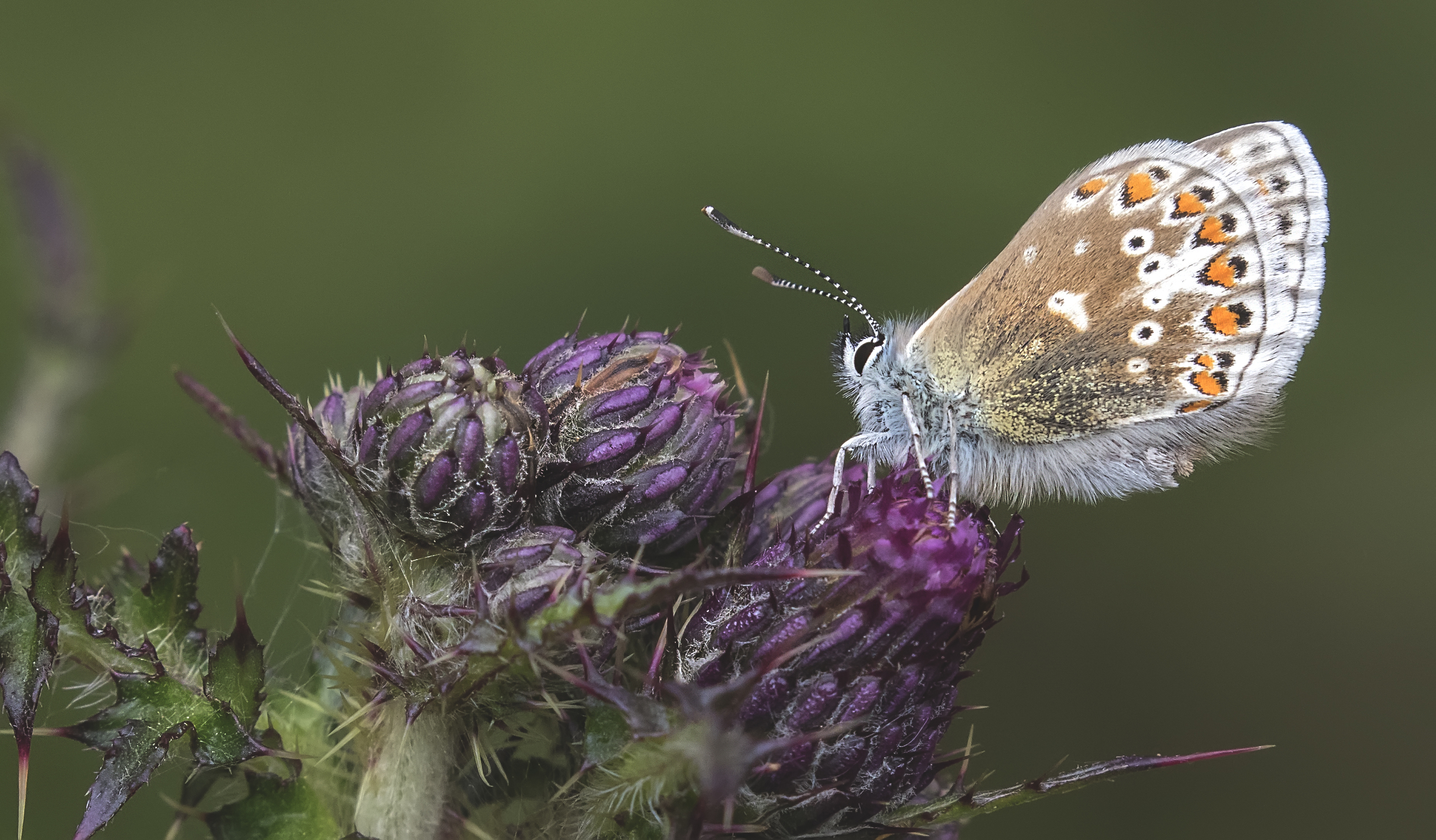Common Blue 6th June.jpg
