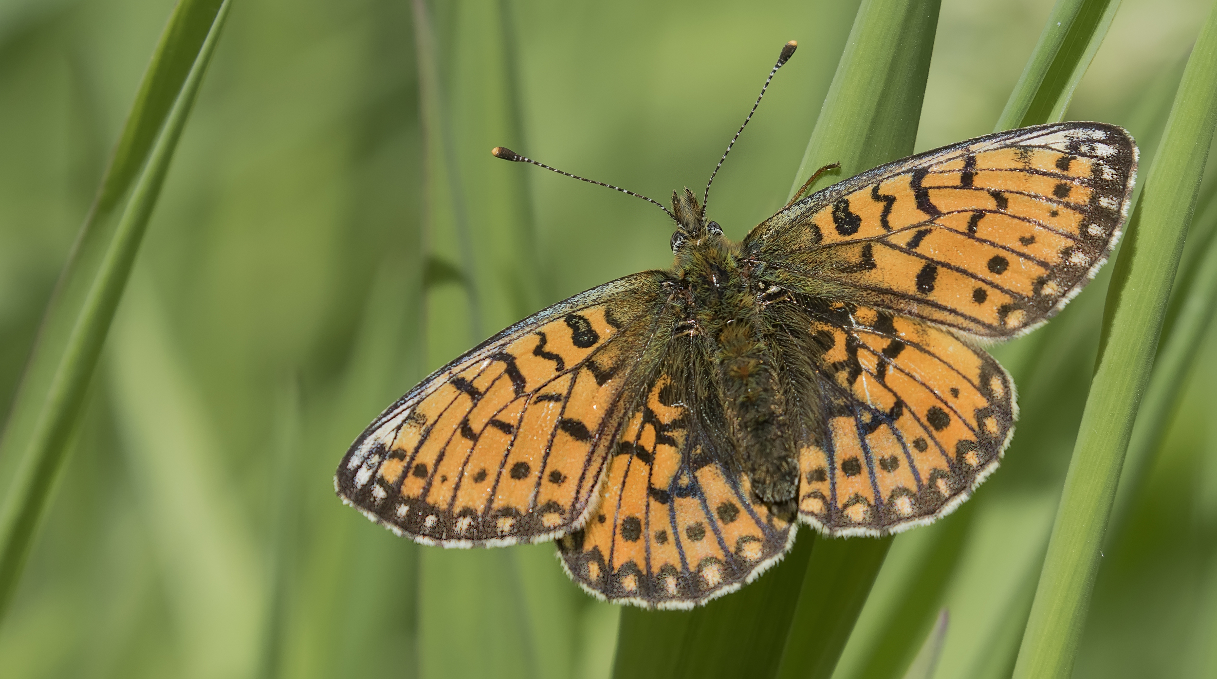 Pearl-bordered Flitillary 6th June.jpg