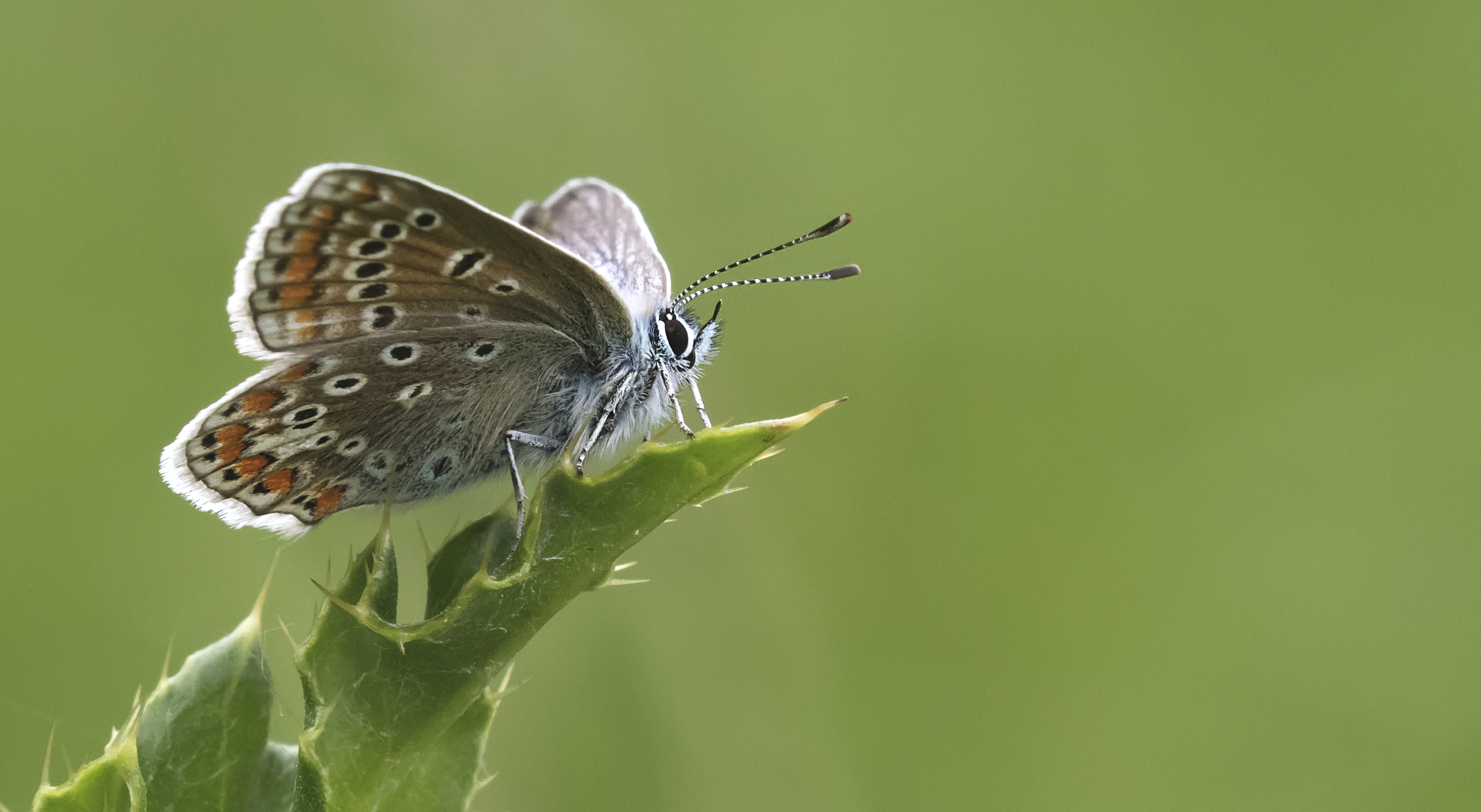 Common Blue Side 5th June.jpg