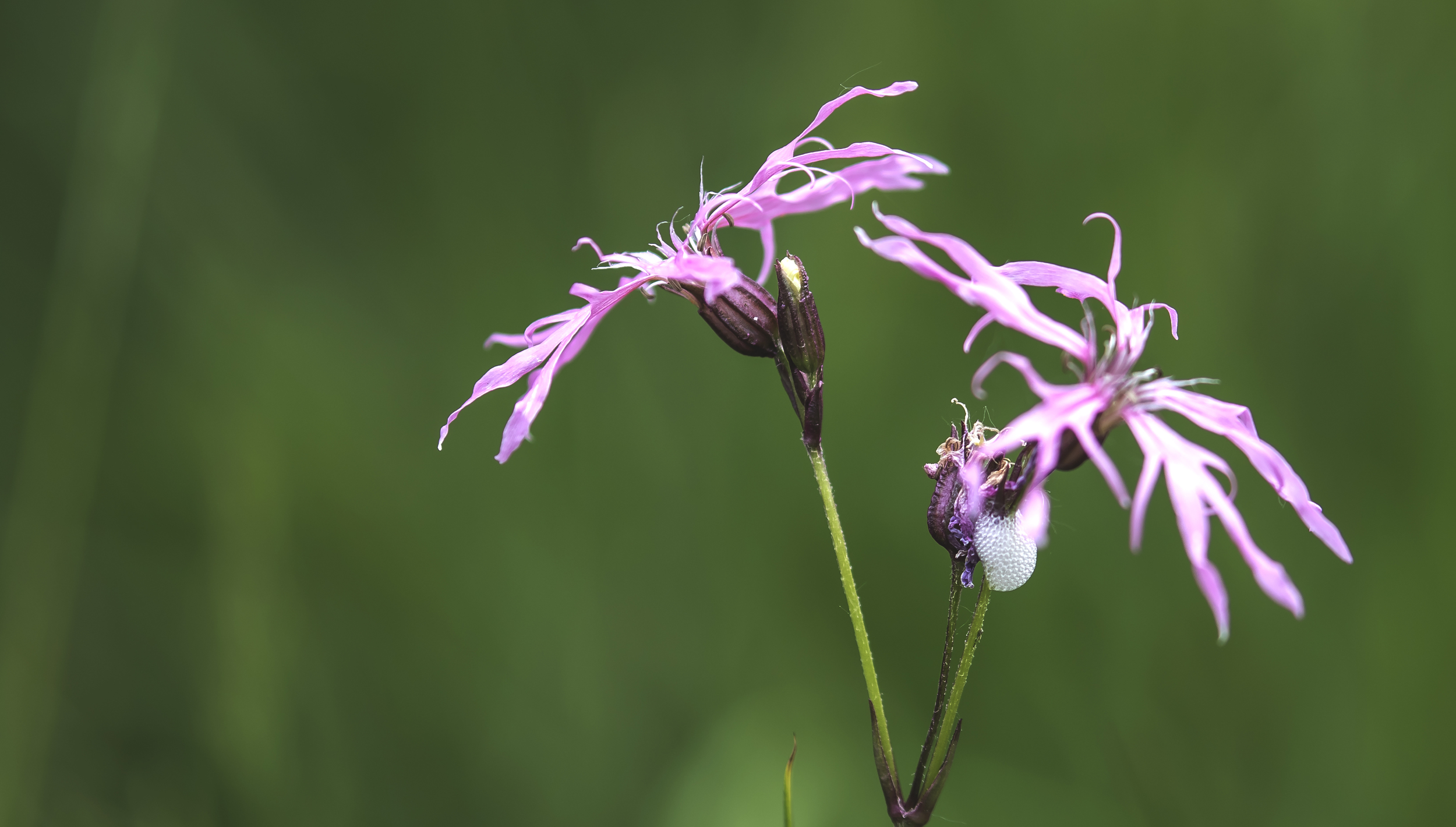 Ragged-Robin 5th June.jpg