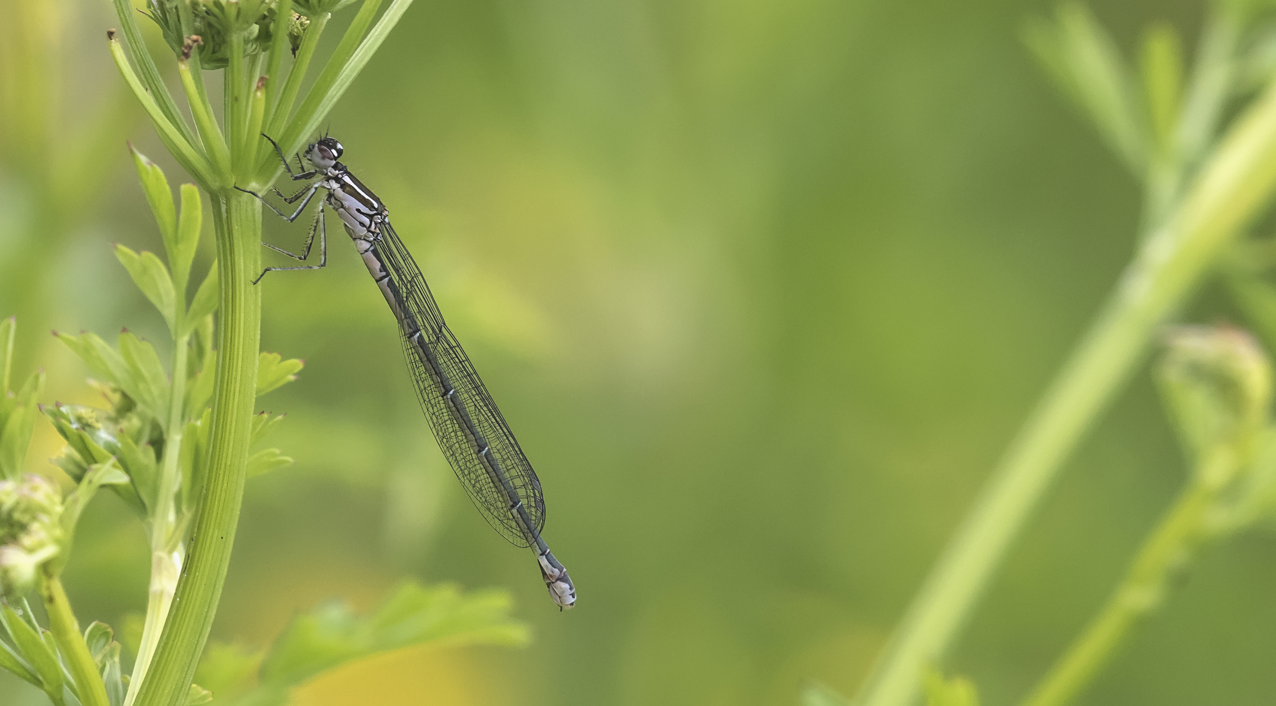 Azure Damselfly 5th June.jpg