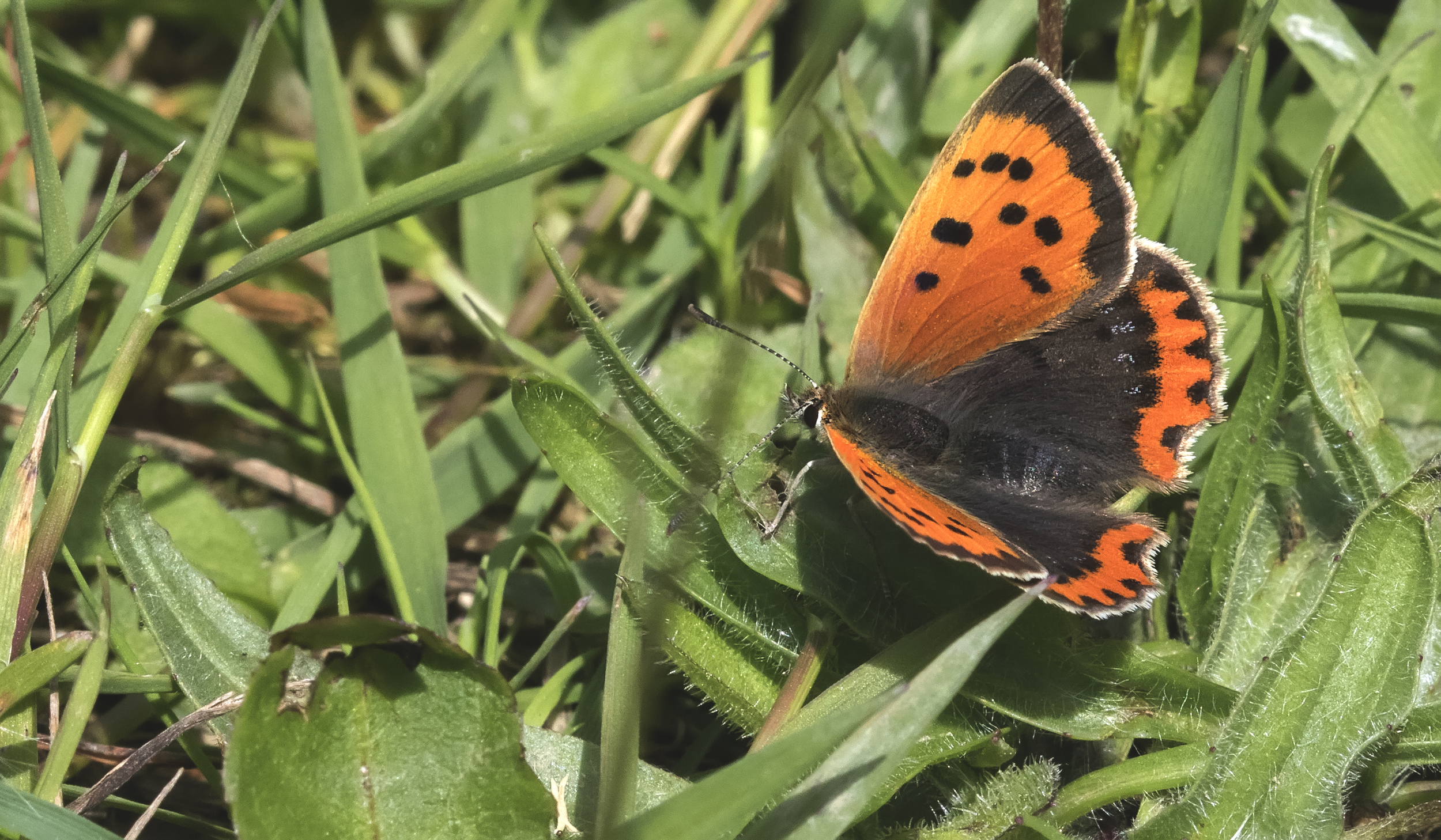 Small Copper 5th June.jpg