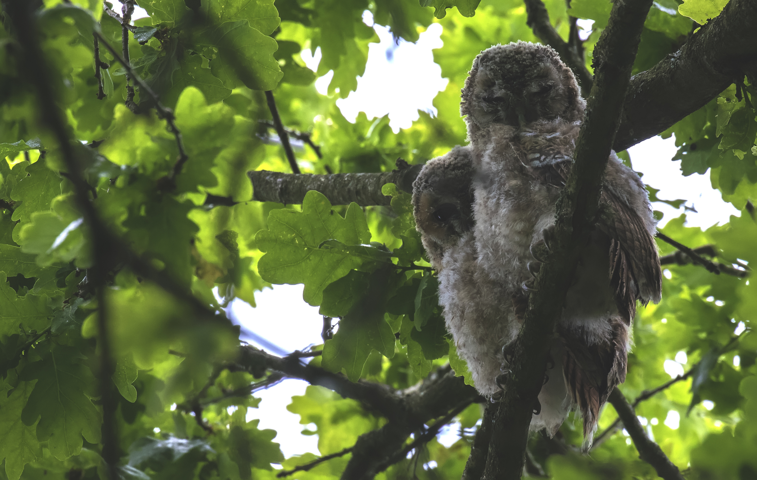 Tawny Owlets 5th June.jpg