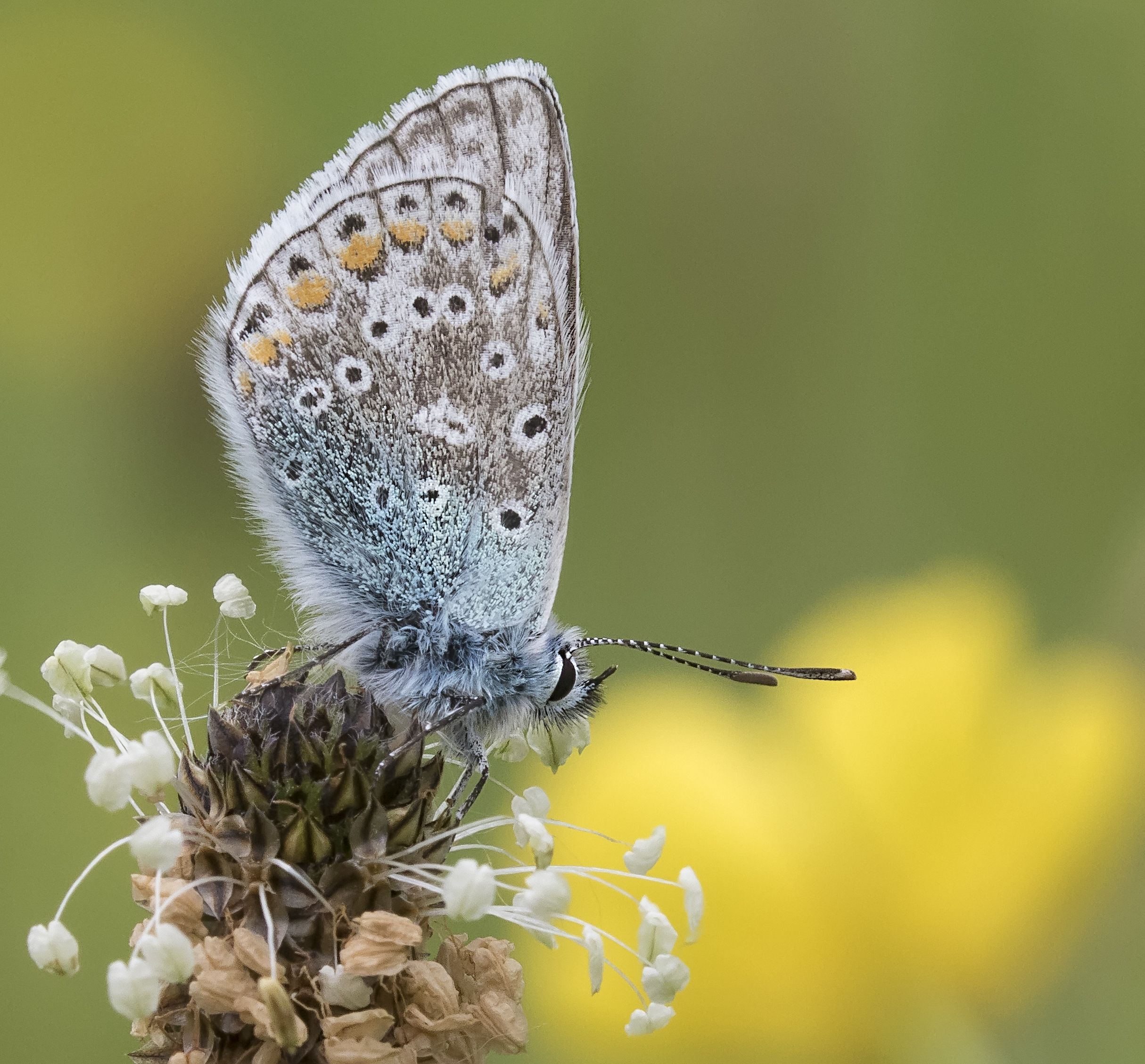 Common Blue 5th June Crop.jpg