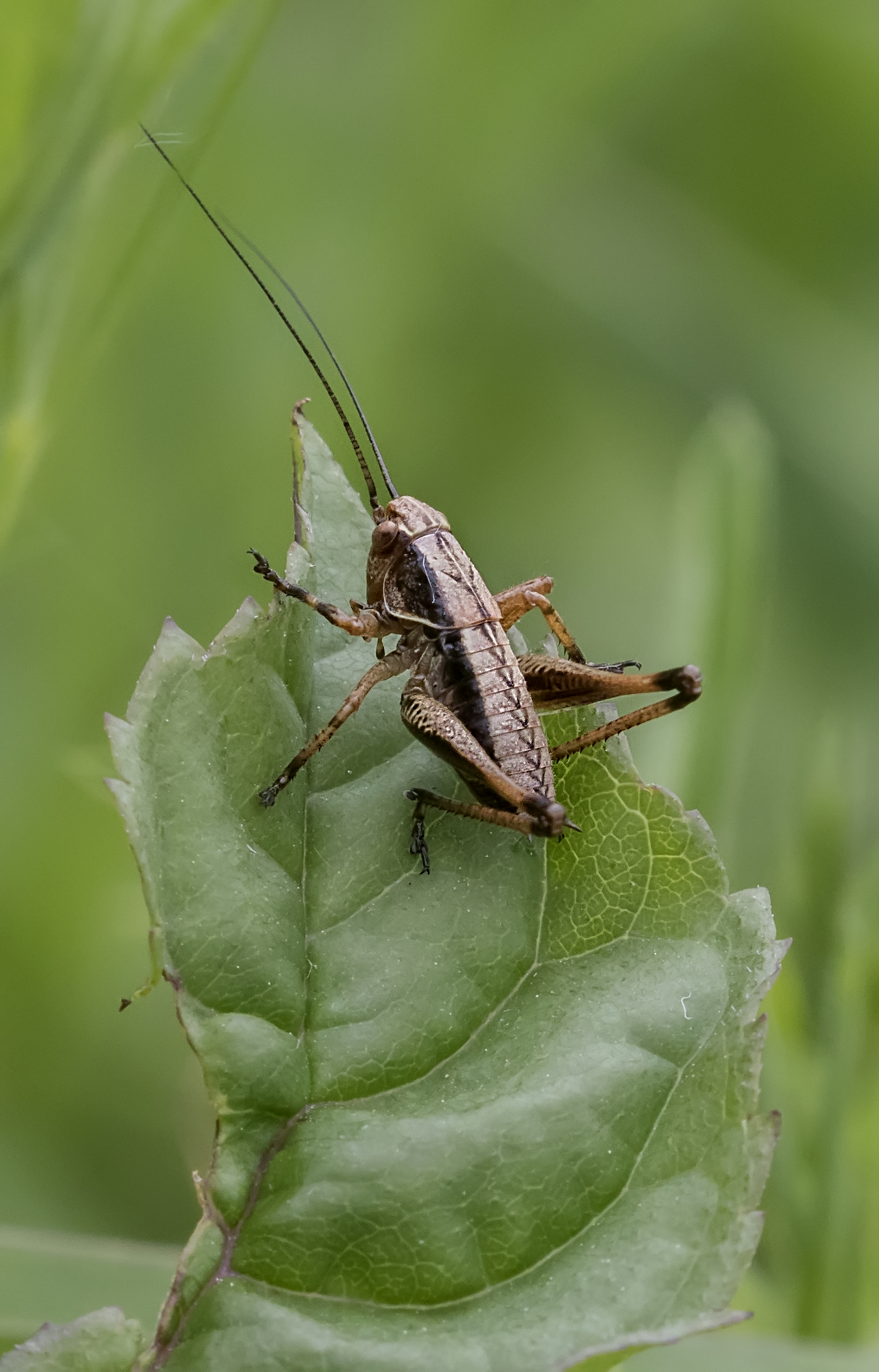 Dark Bush Cricket.jpg